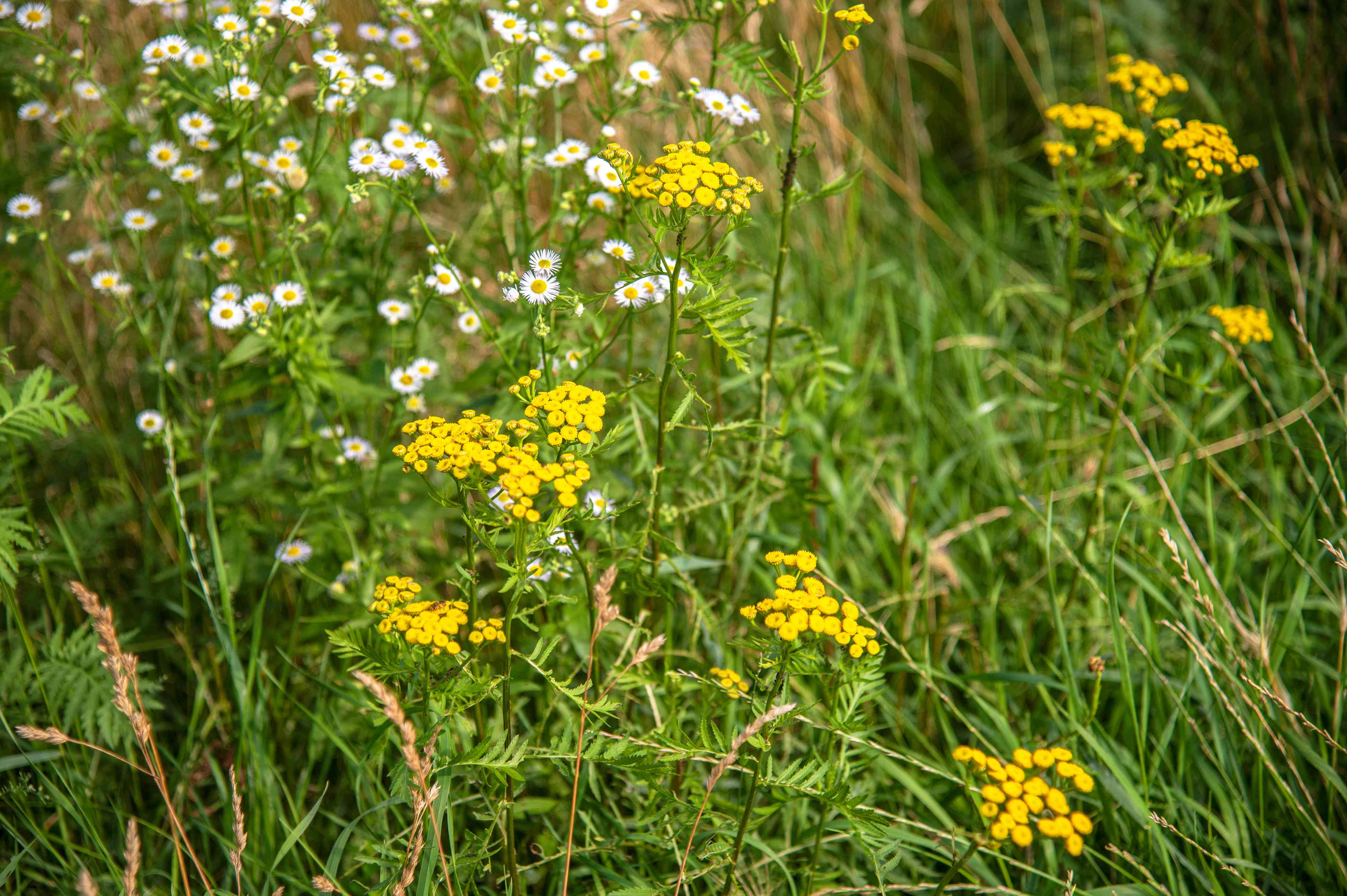 Common tansy plants with small yellow round flowers on tall and thin stems surrounded by white wildflowers and grass