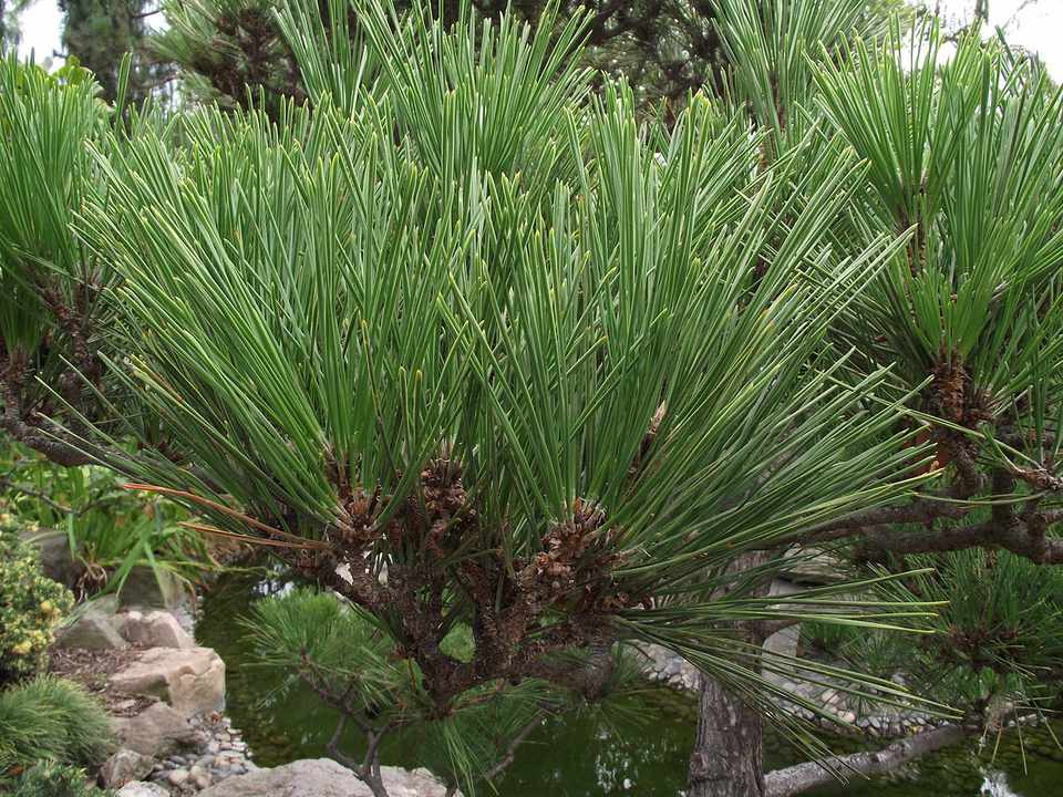 Japanese black pine (Pinus thunbergii)