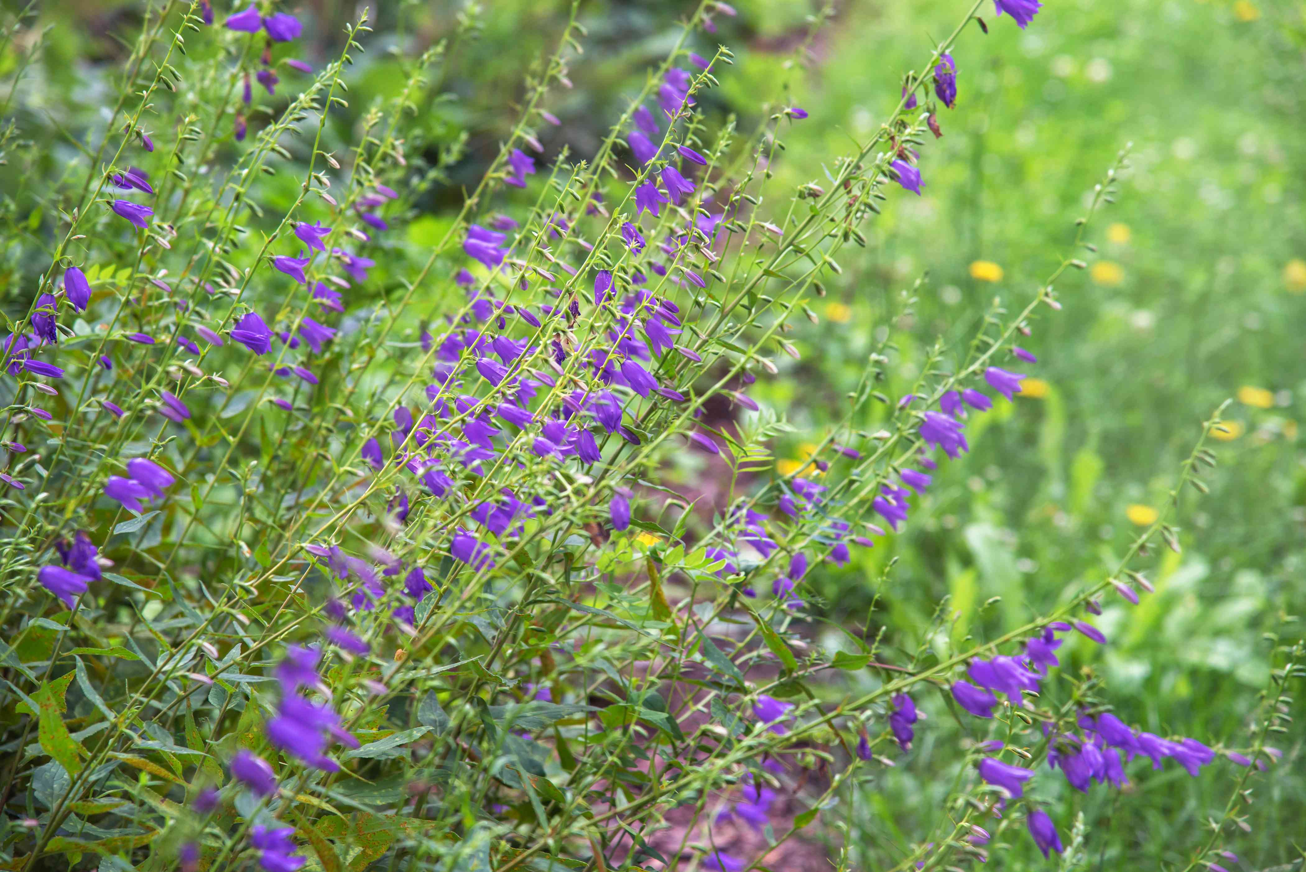 Creeping bellflower weed plant with long thin stems and purple bell-shaped flowers in garden