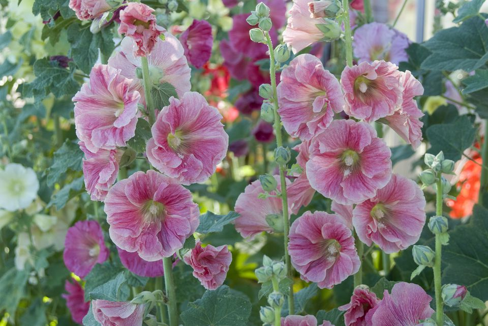 Pink hollyhocks in bloom.