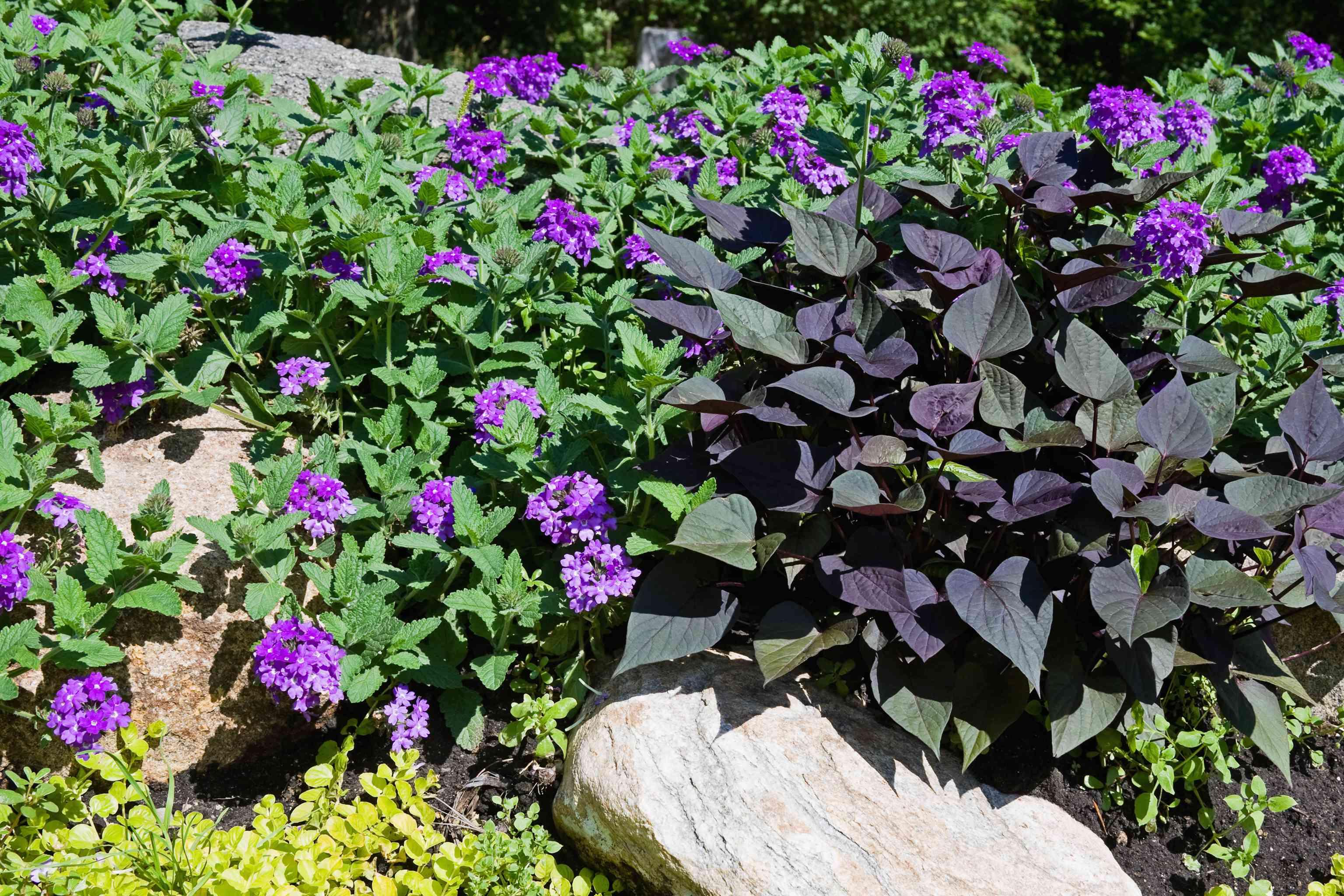 ace of spades sweet potato vines and verbena