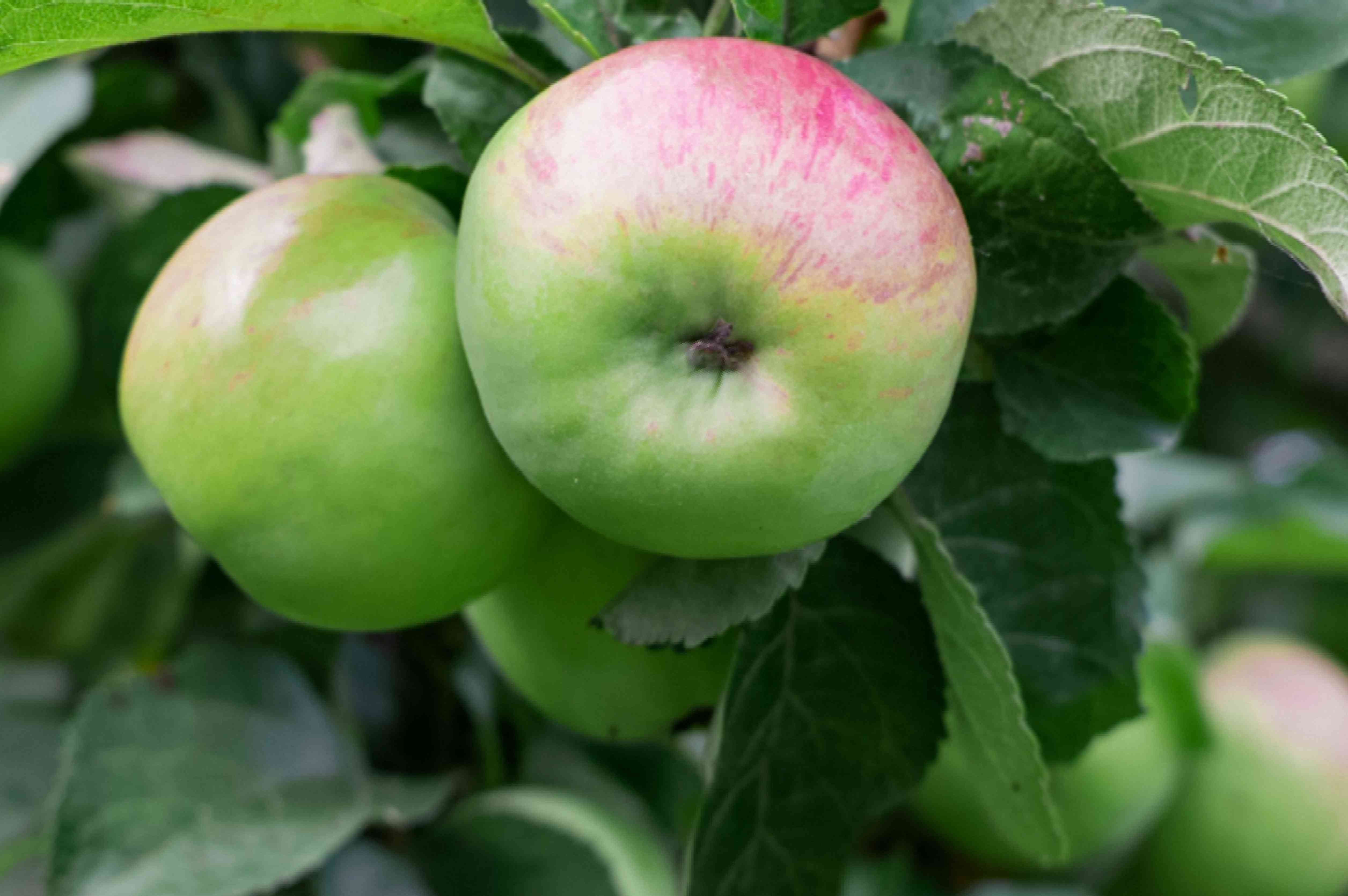 Early harvest apple tree with light green and red apples hanging off end of branches closeup
