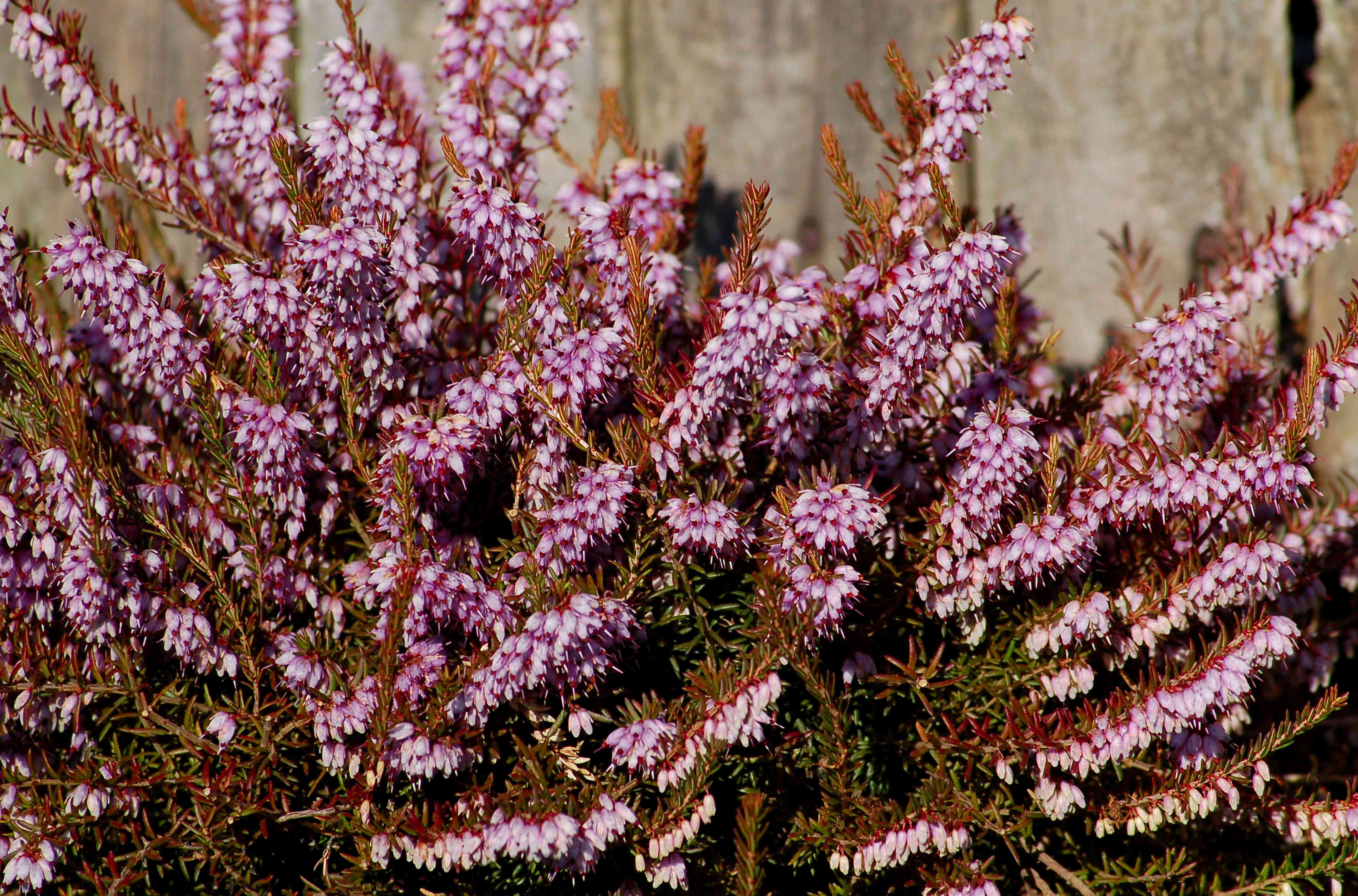 Winter heath plant with small clusters of light pink blooms on reddish-orange stems