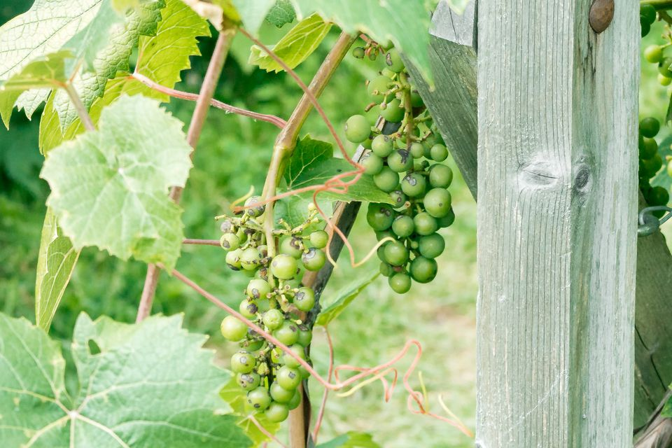 green grapes growing on the vine