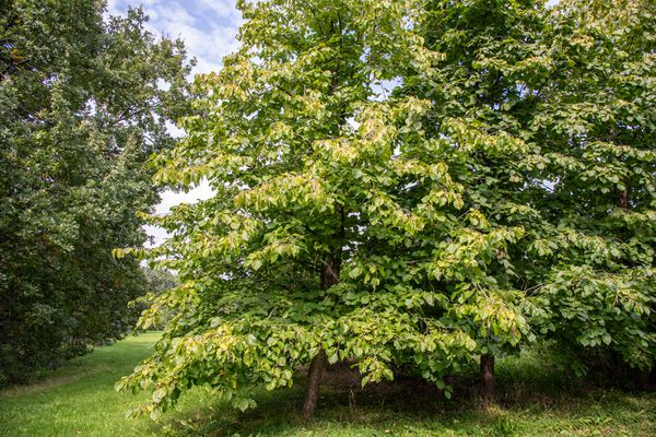 Common hazel tree with light green leaves in middle of wooded area