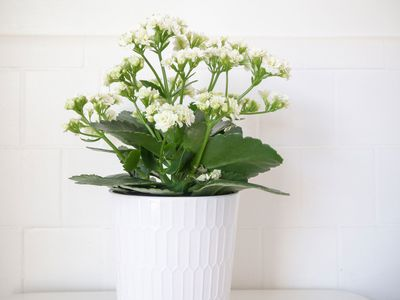 a kalanchoe plant with white blooms