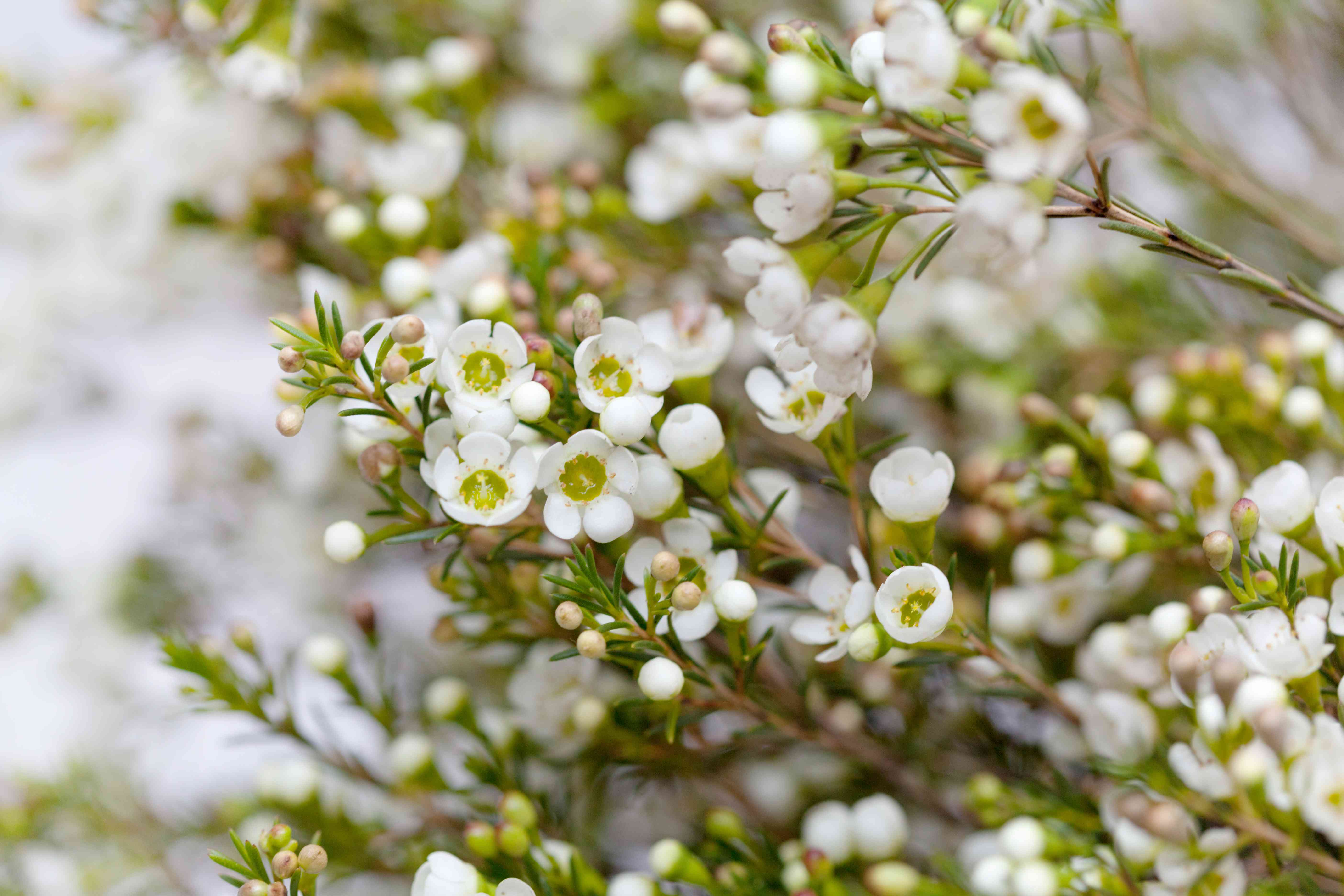 White Wax flower in natural background