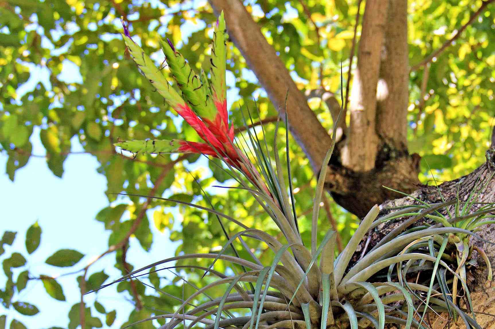 Planta de aire - Tillandsia fasciculata
