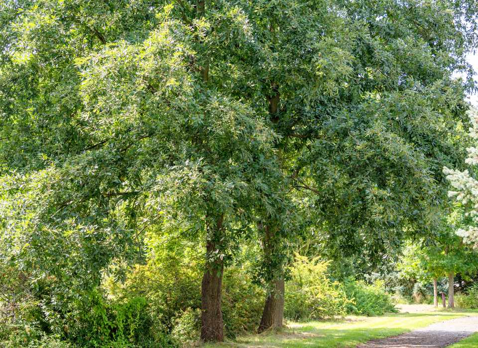 Turkey oak trees with branches full of leaves near pathway