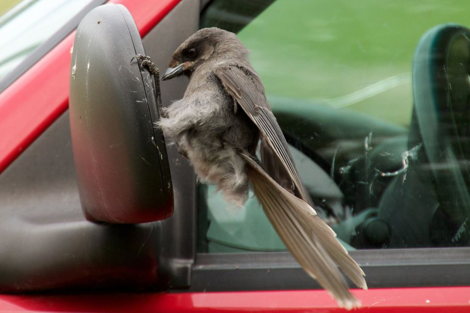 Gray Jay Attacking Car Mirror