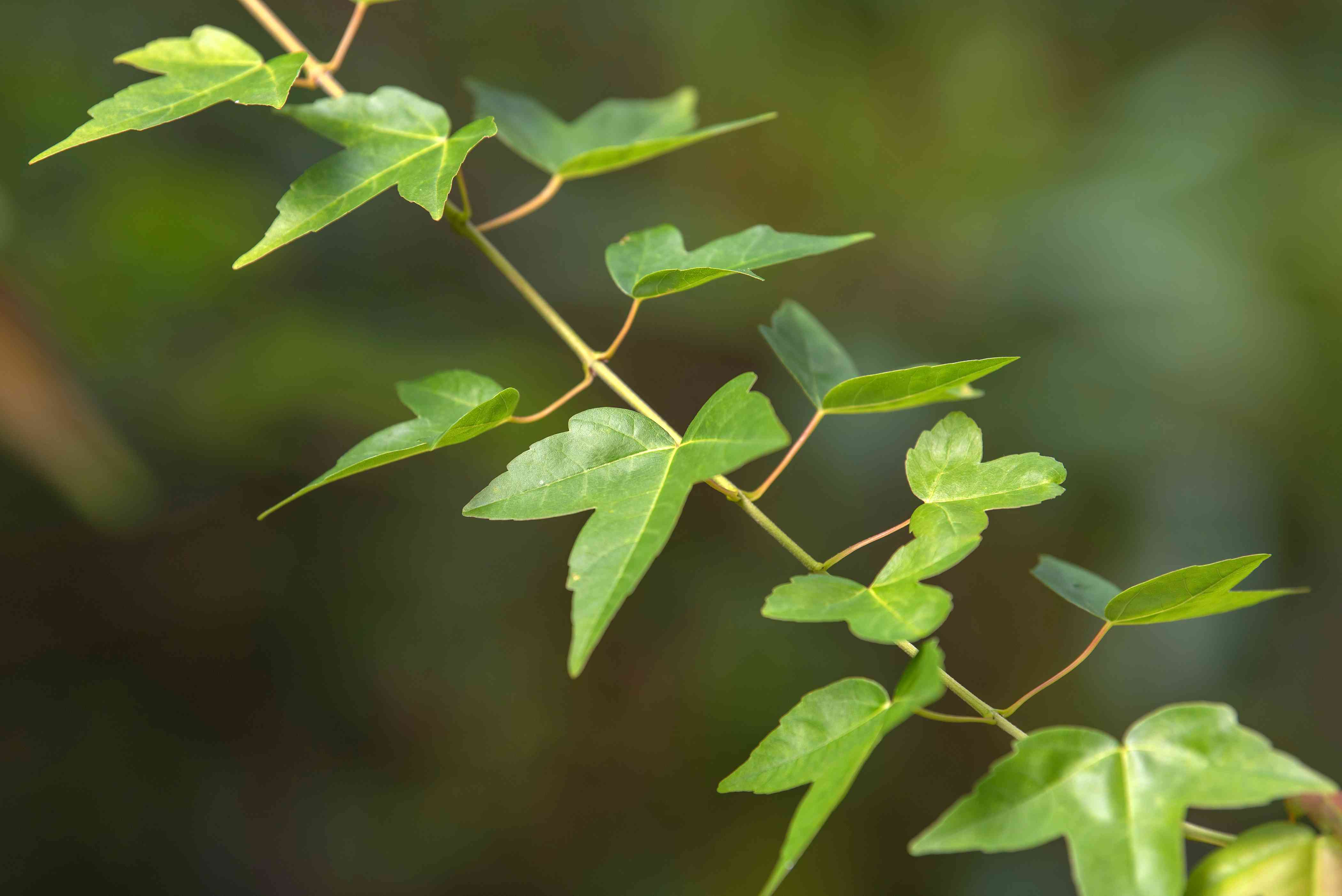 Trident maple tree with three-lobed leaves on stem closeup