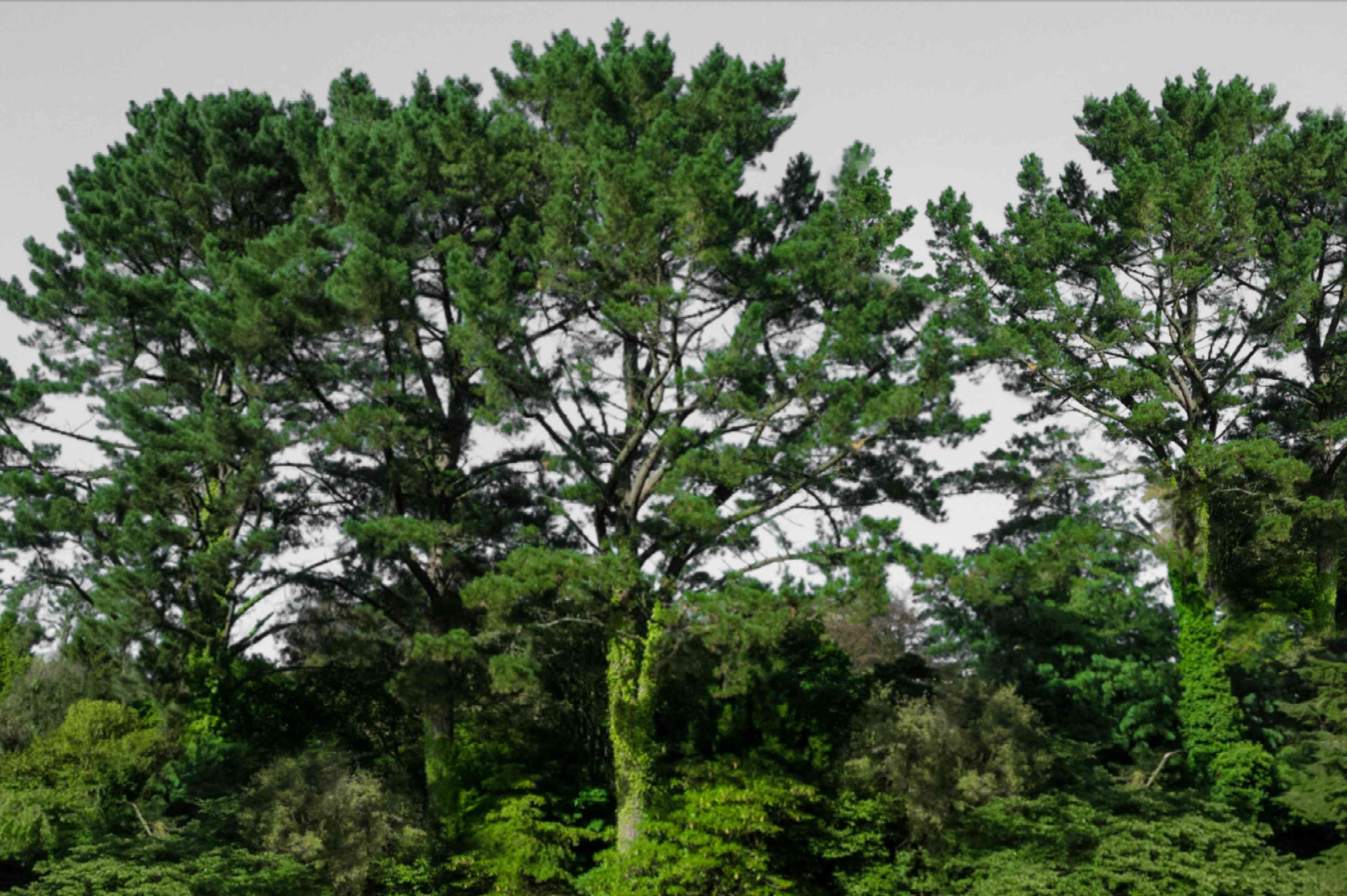 Monterey pine trees with tall leaf covered trunks and sprawling branches
