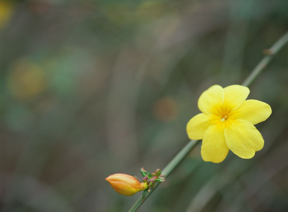 Winter jasmine flower.