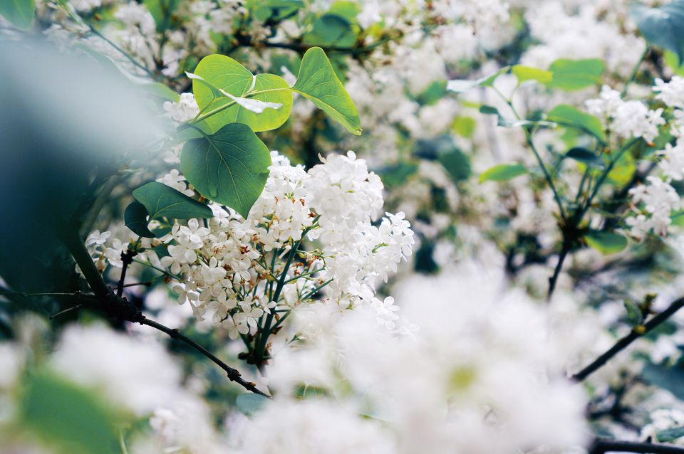 White lilac bush in bloom.