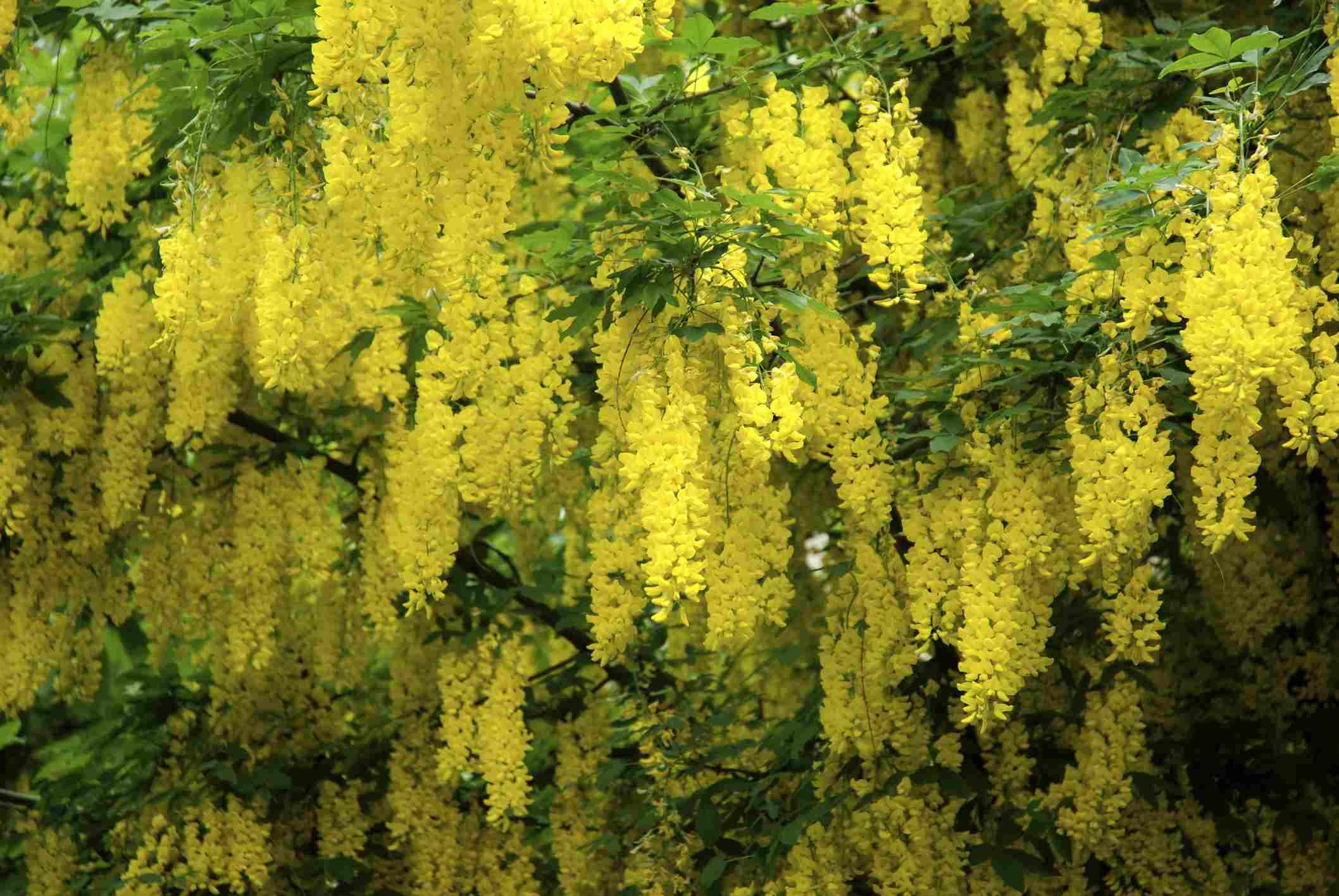 Flores de cadena dorada