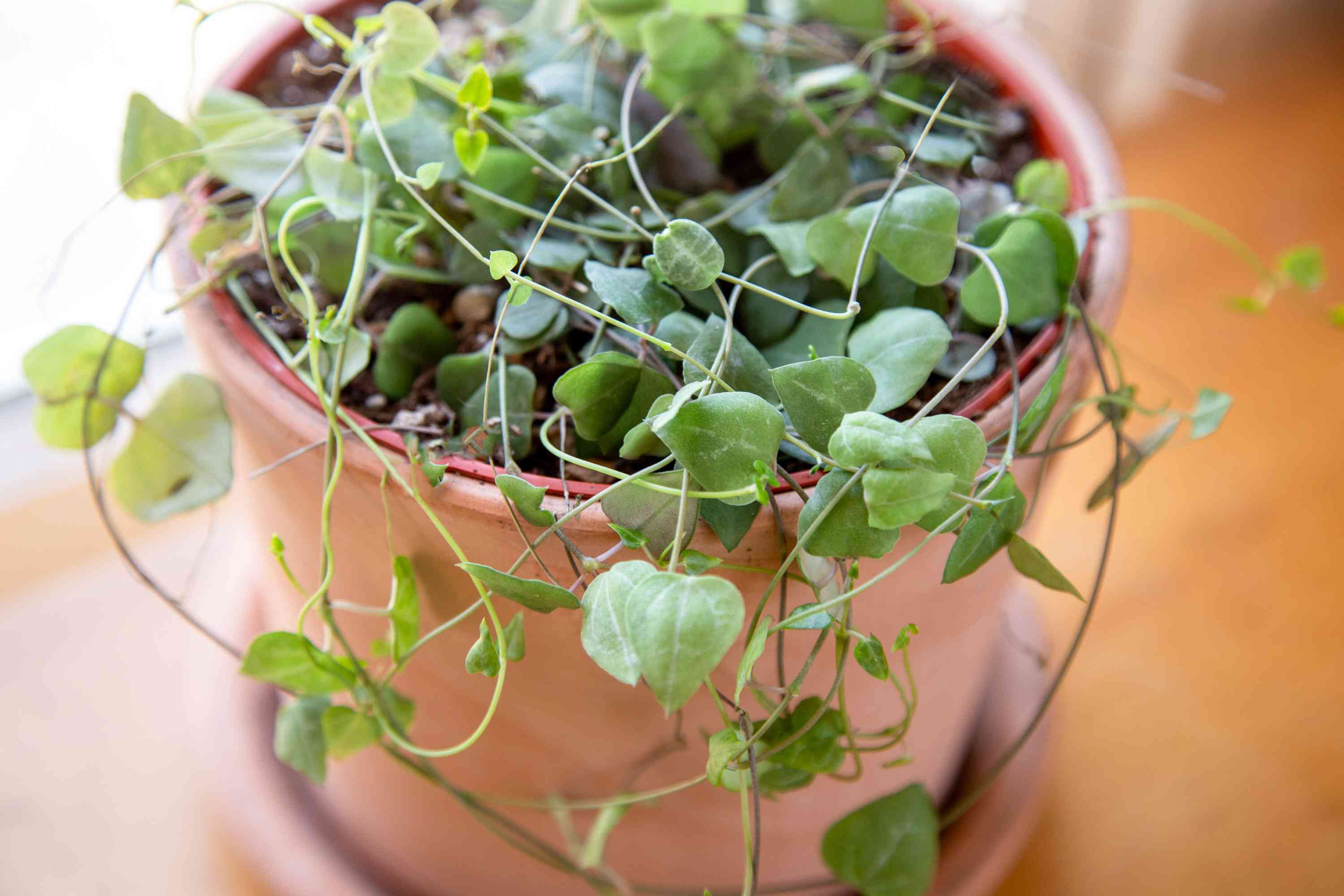 string of hearts plants