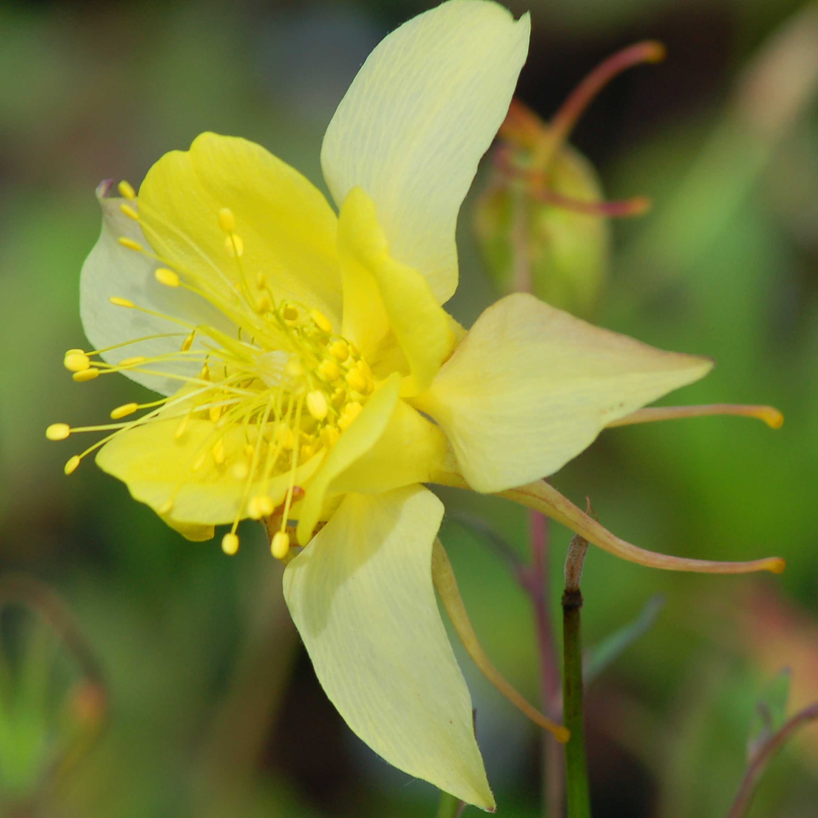 Image of yellow columbine. Columbine comes in many colors, including yellow.