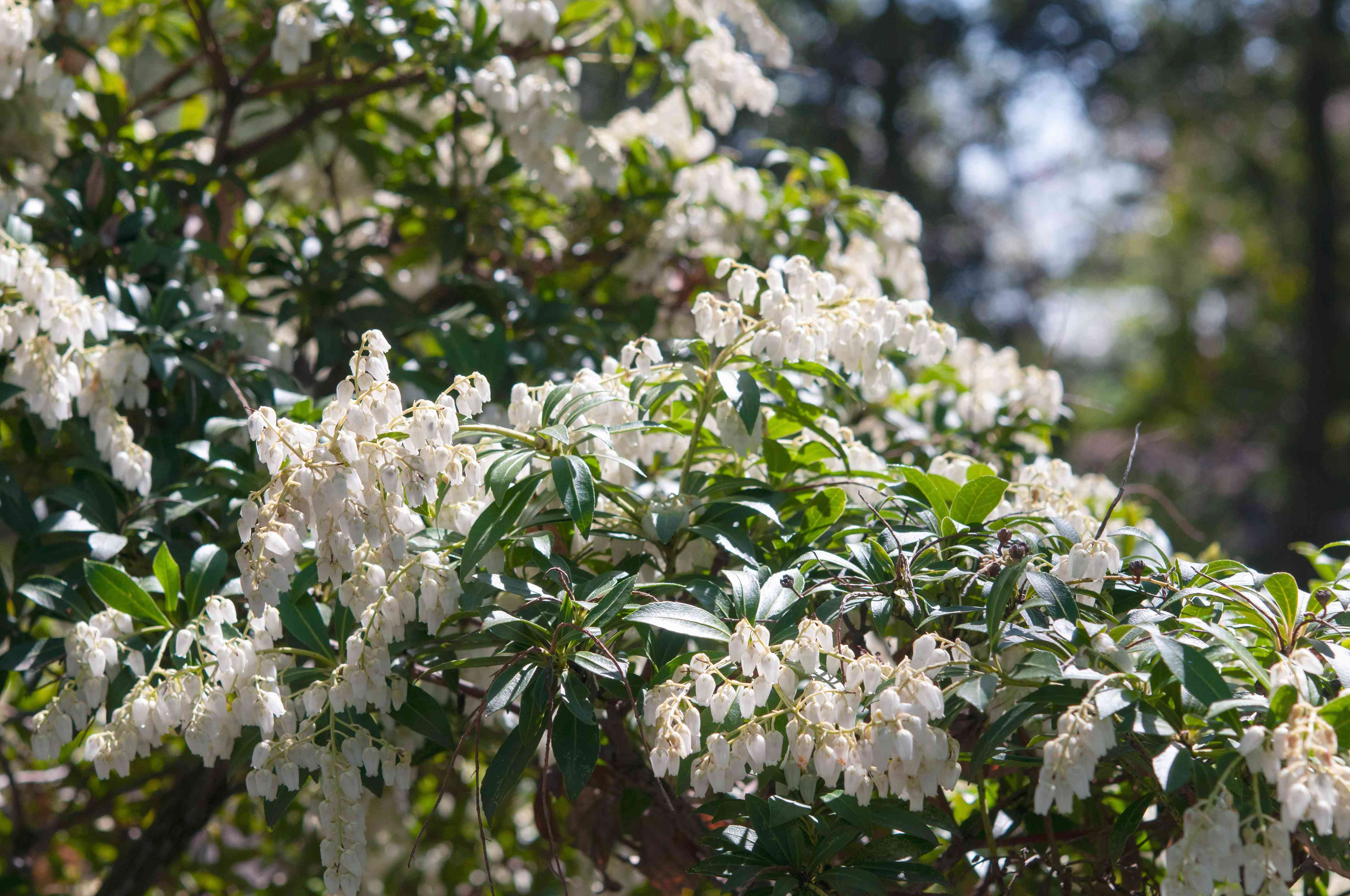 Japanese pieris with white flowers on branches in sunlight