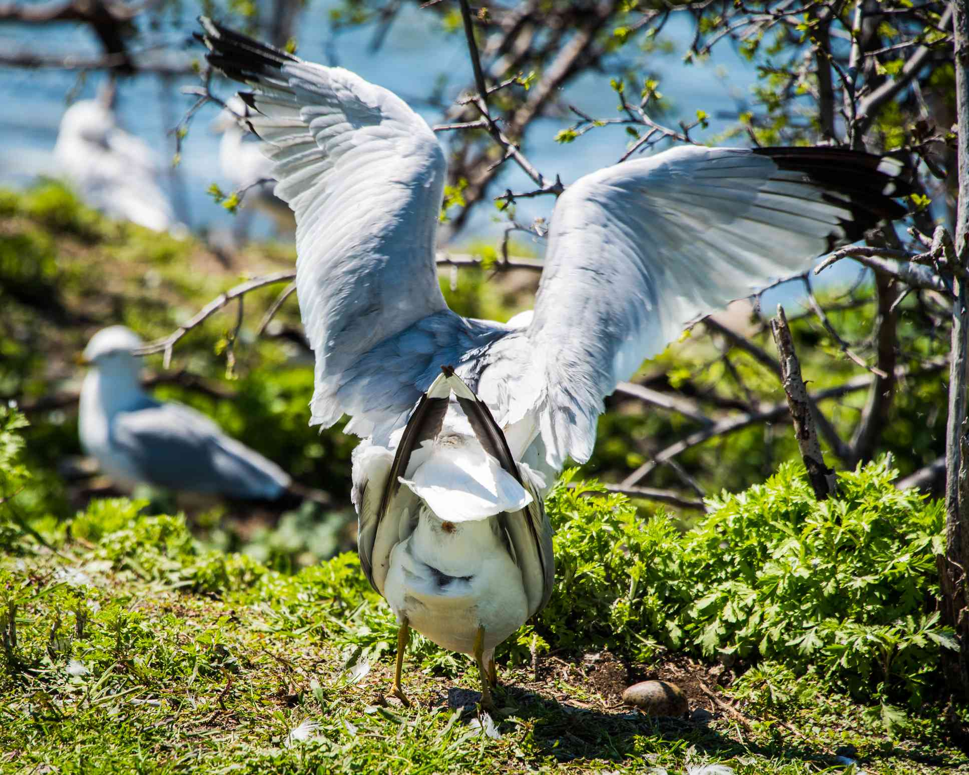hind view of a seagull showing the cloaca