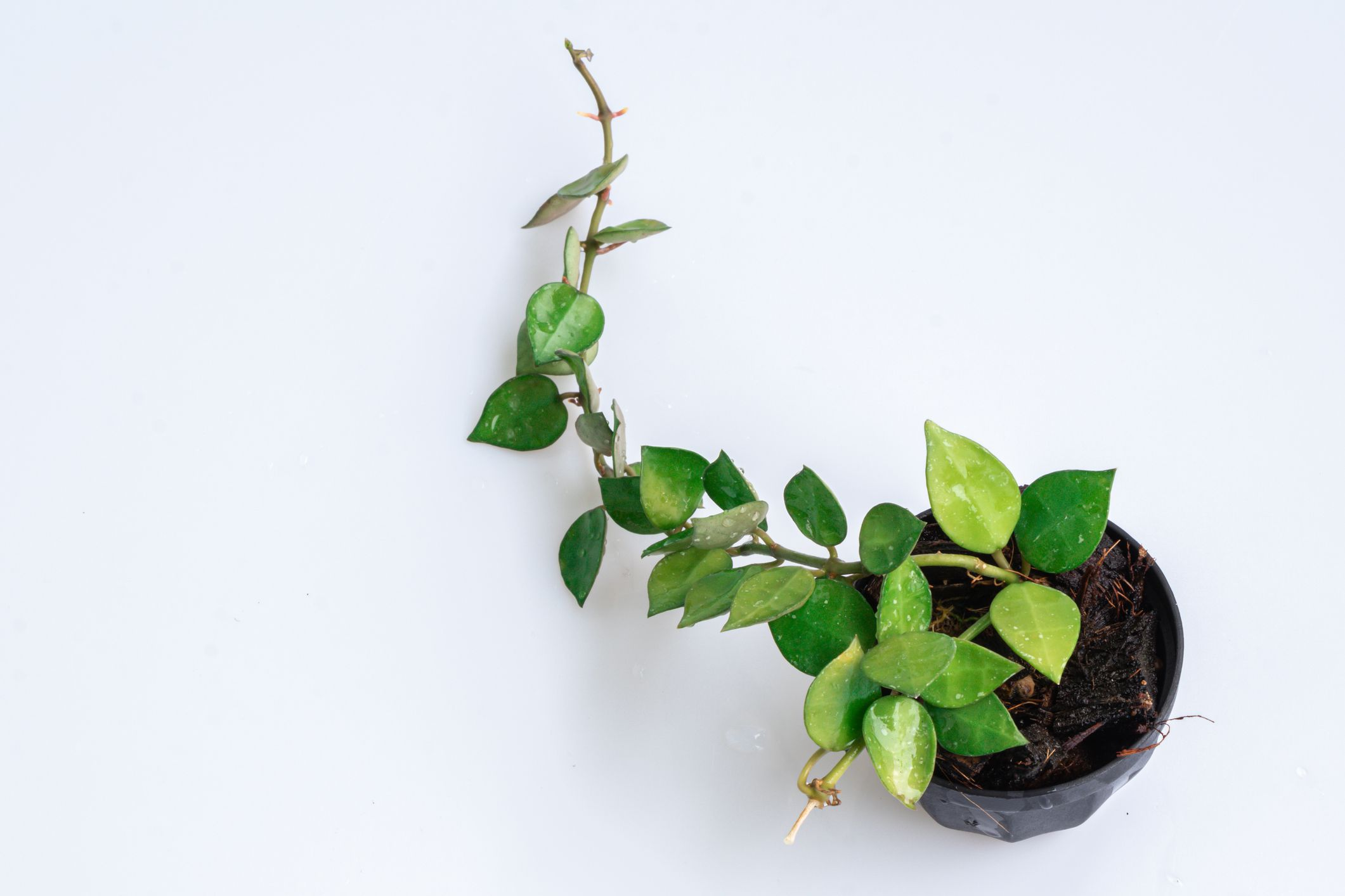 Overhead view of a Hoya krohniana in a black pot on a white background.