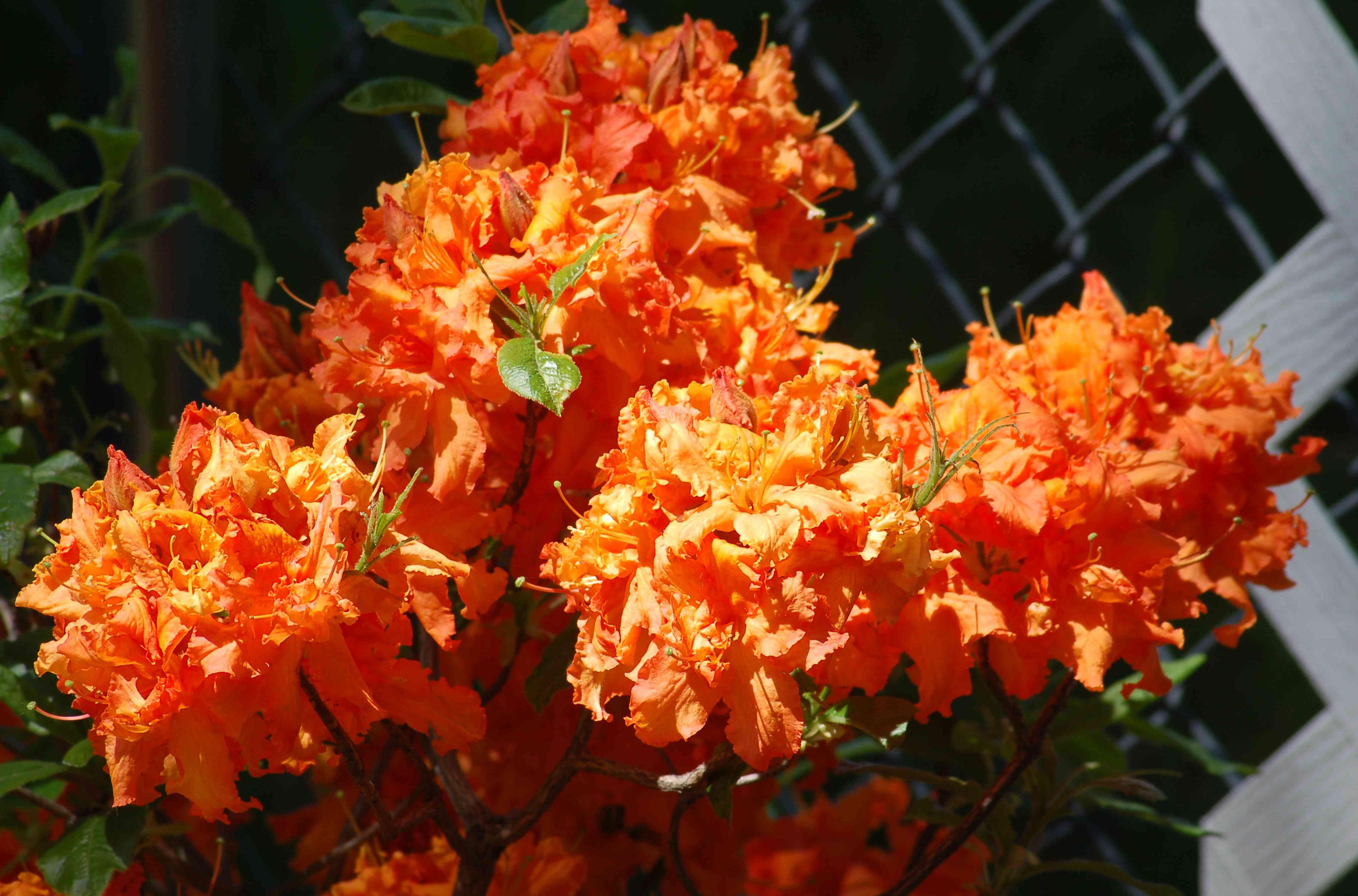 Gibraltar azalea plant with orange flowers.
