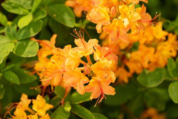 'Golden oriole' azalea plant with orange trumpet-like flowers clustered together