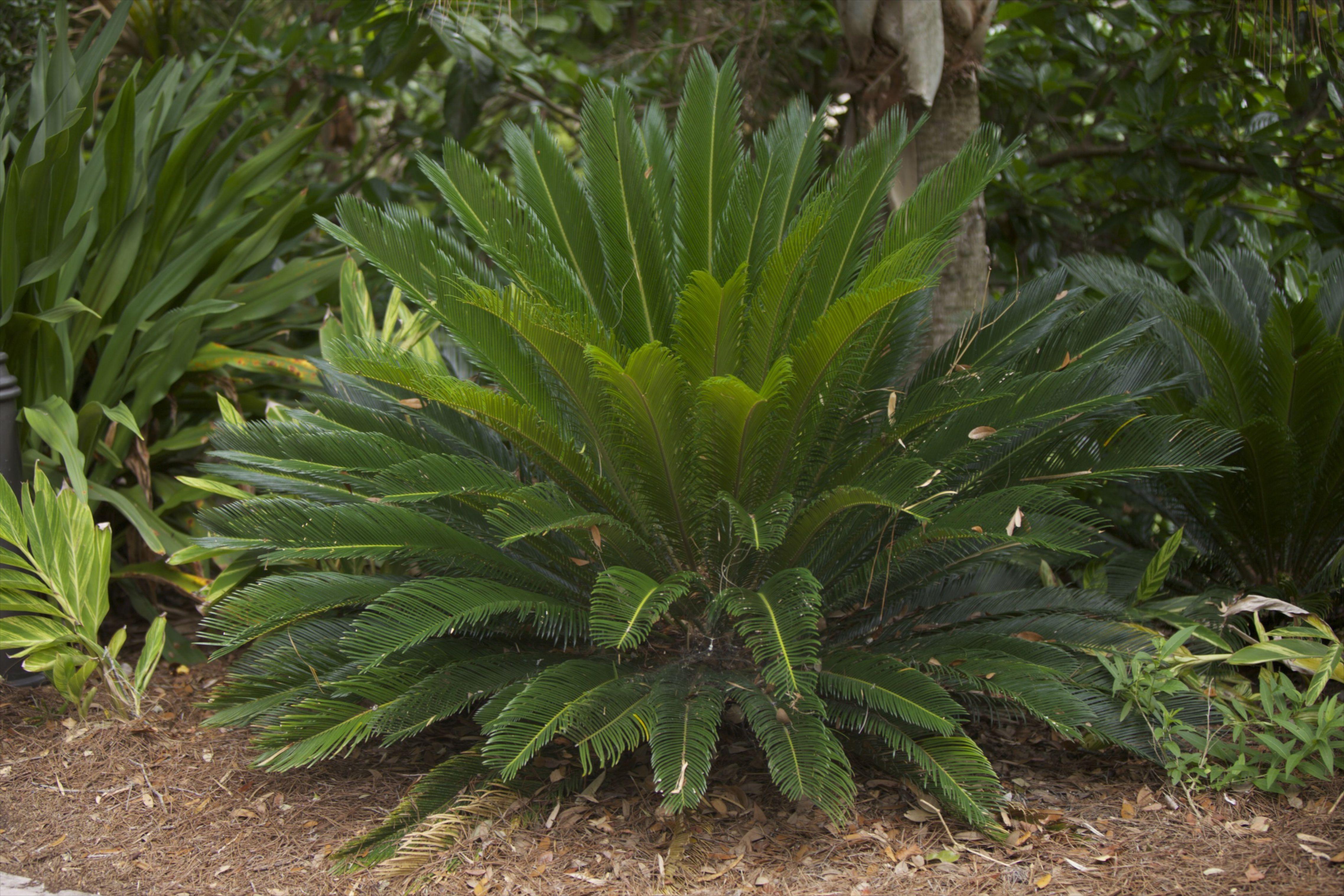 palmera sagú