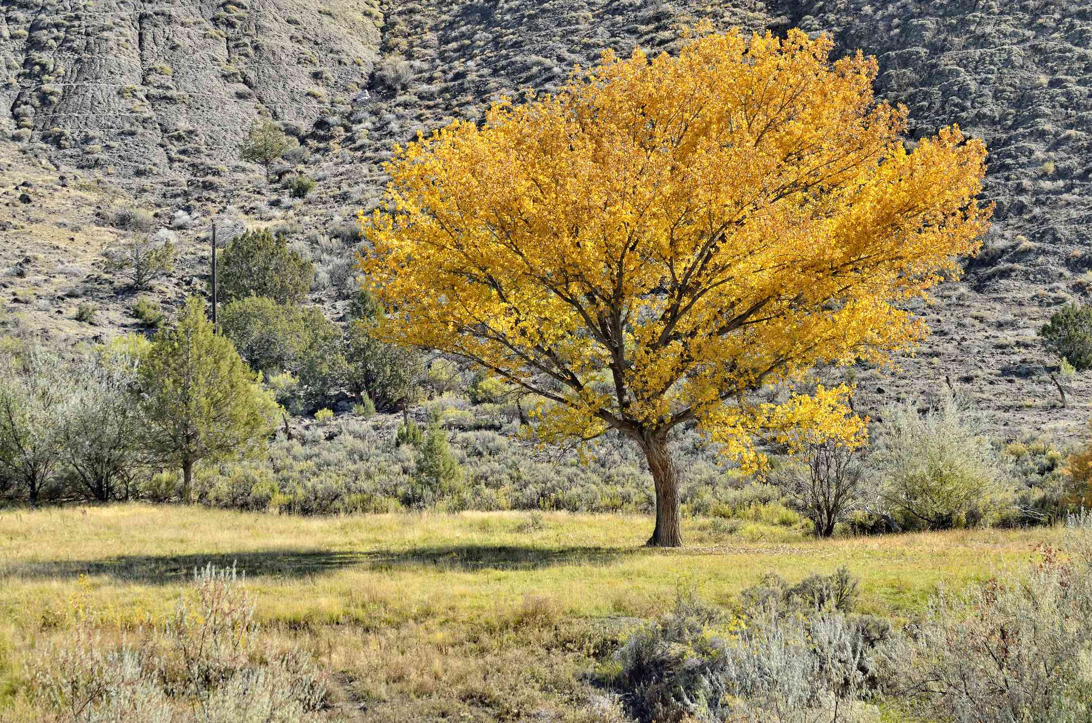 Fremont cottonwood in Adobe Buttes in Autumn