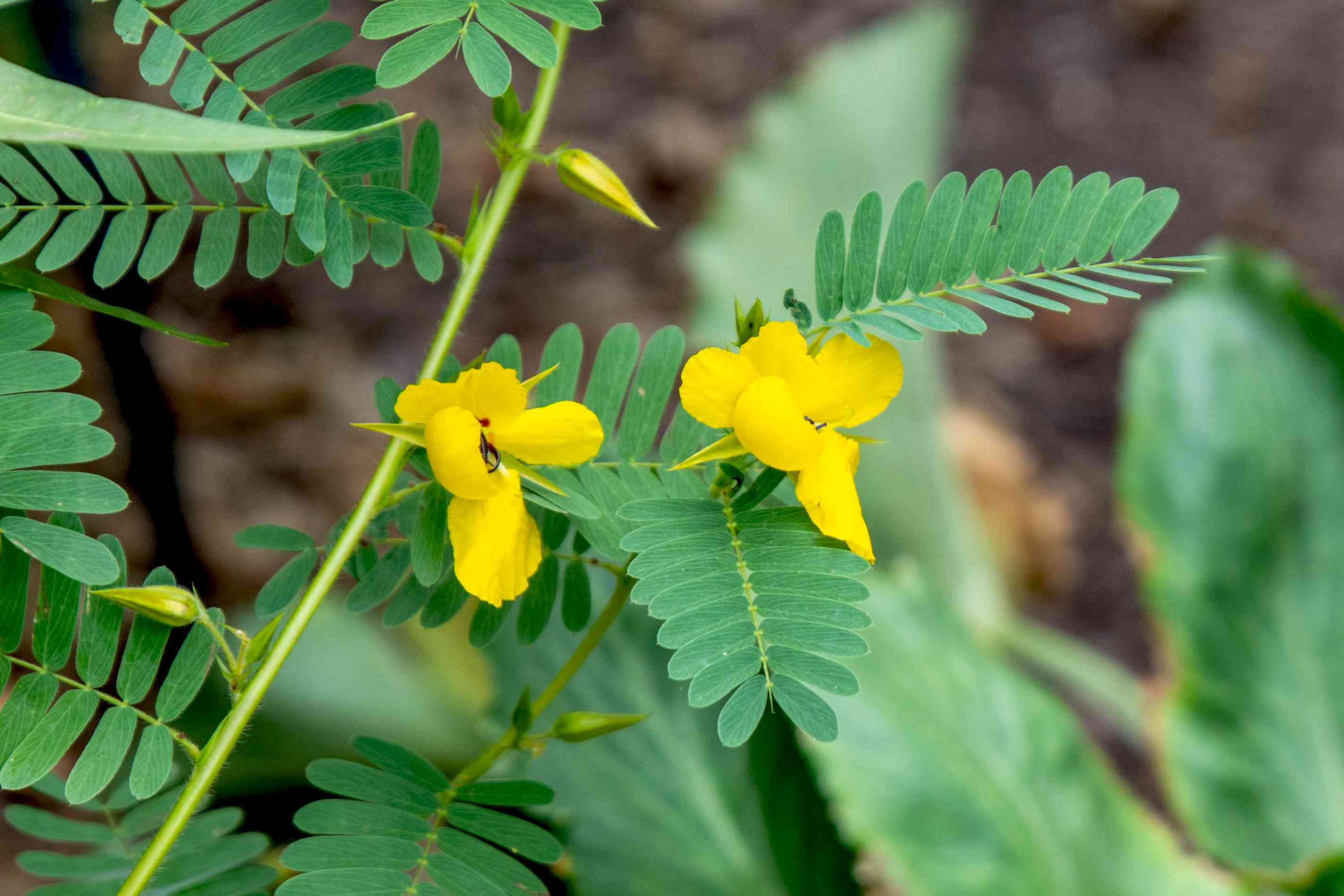 Partridge pea plant stem with yellow flowers and buds next to feathery leaves closeup😊