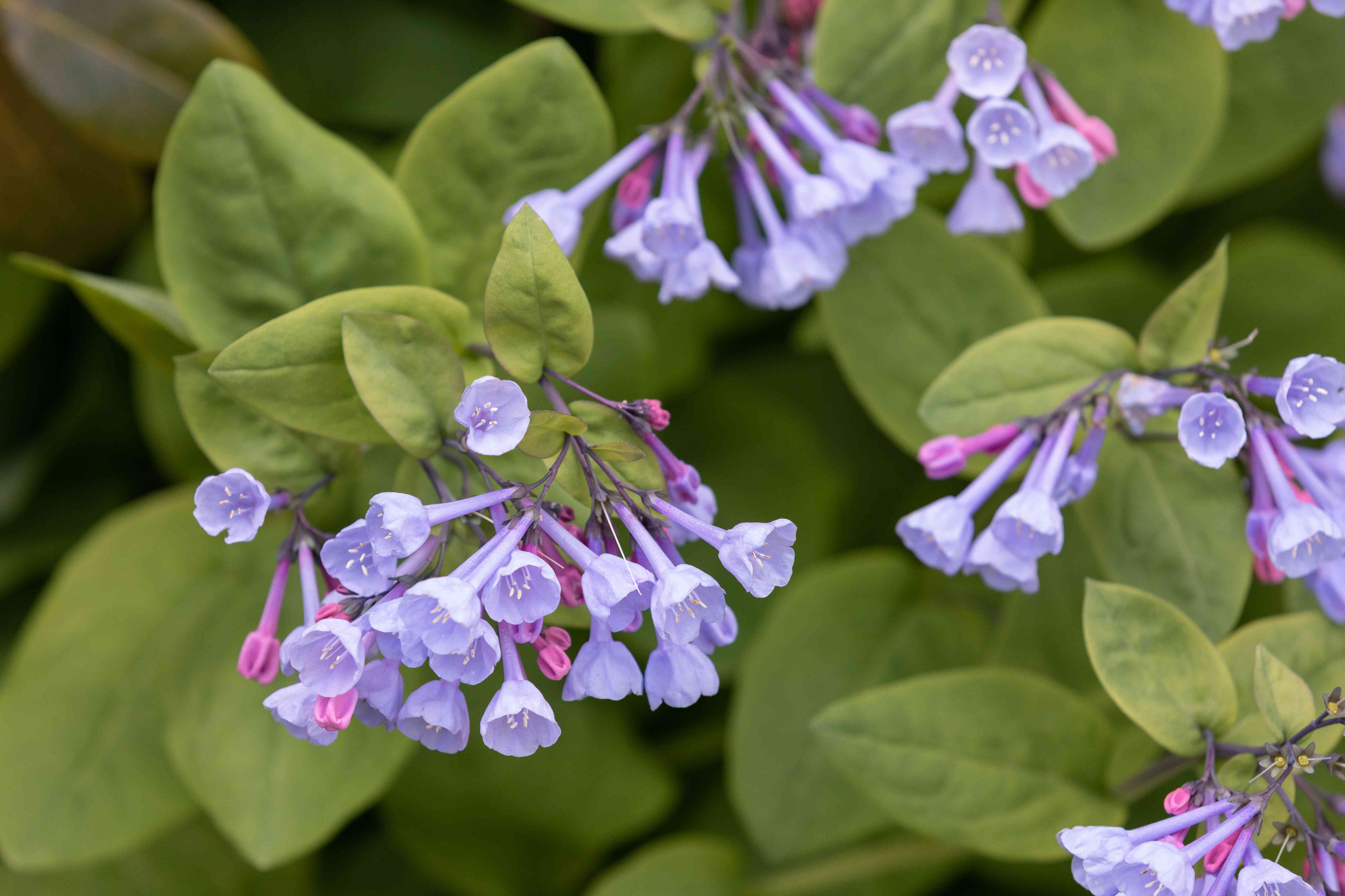 Virginia bluebell plant with small light purple trumpet-like flowers and buds surrounded by rounded leaves