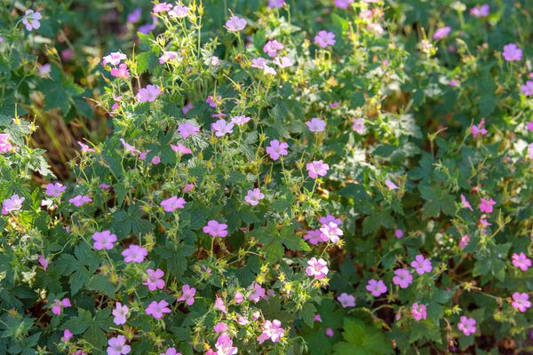 French cranesbill bush with small pink cup-shaped flowers
