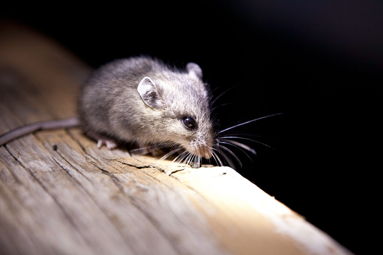 12 Common Questions and Answers About Mice in the House