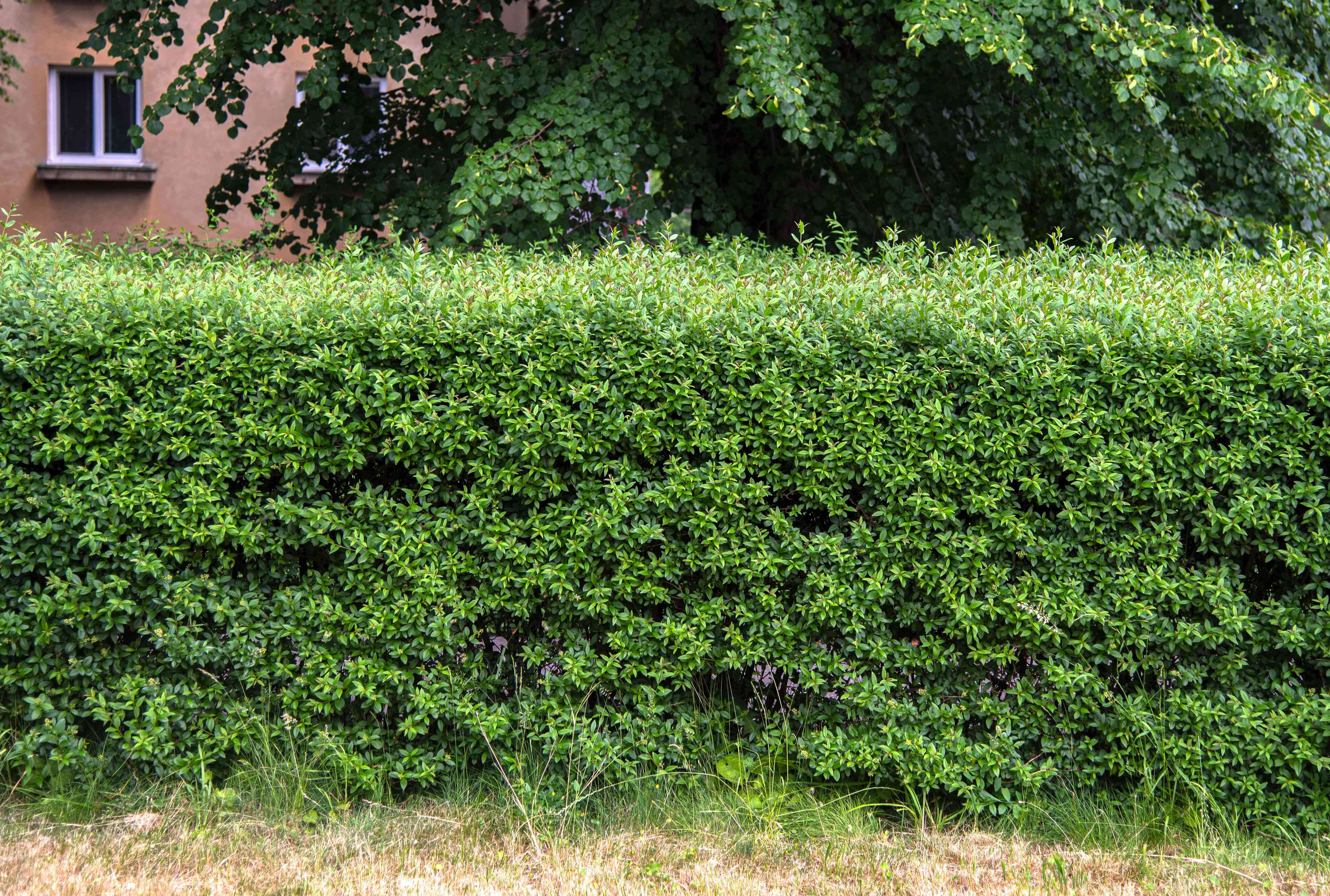 Privet hedge with small green leaves clumped together and trimmed in a box-like form