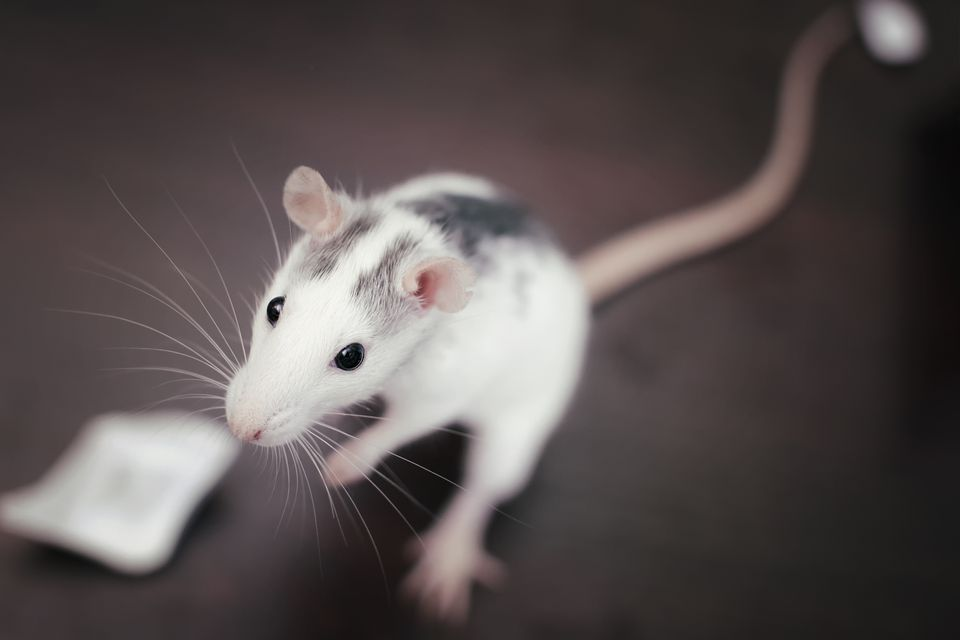 Close up of rat