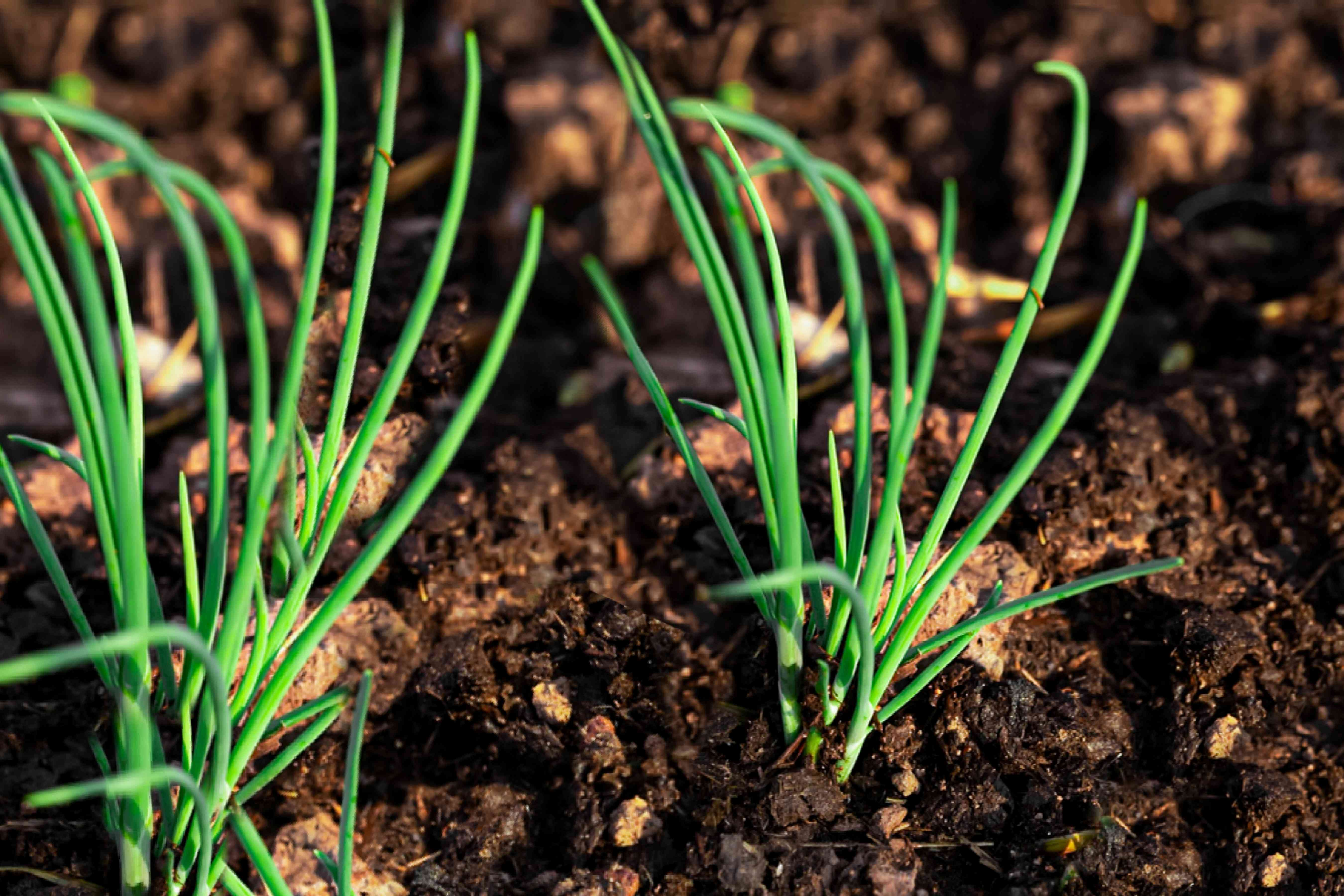 scallions poking out of the soil