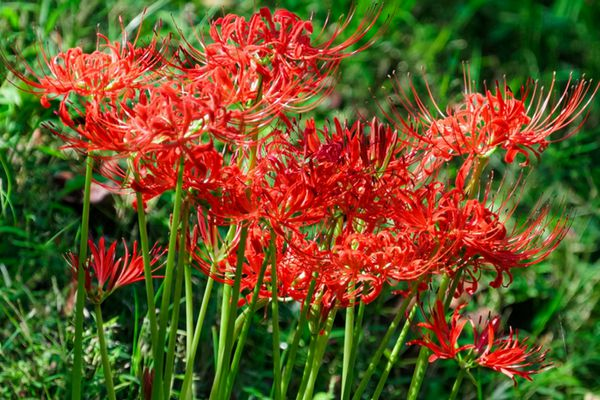 Spider lily plant with red spider leg-like petals and long stamen on thick stems