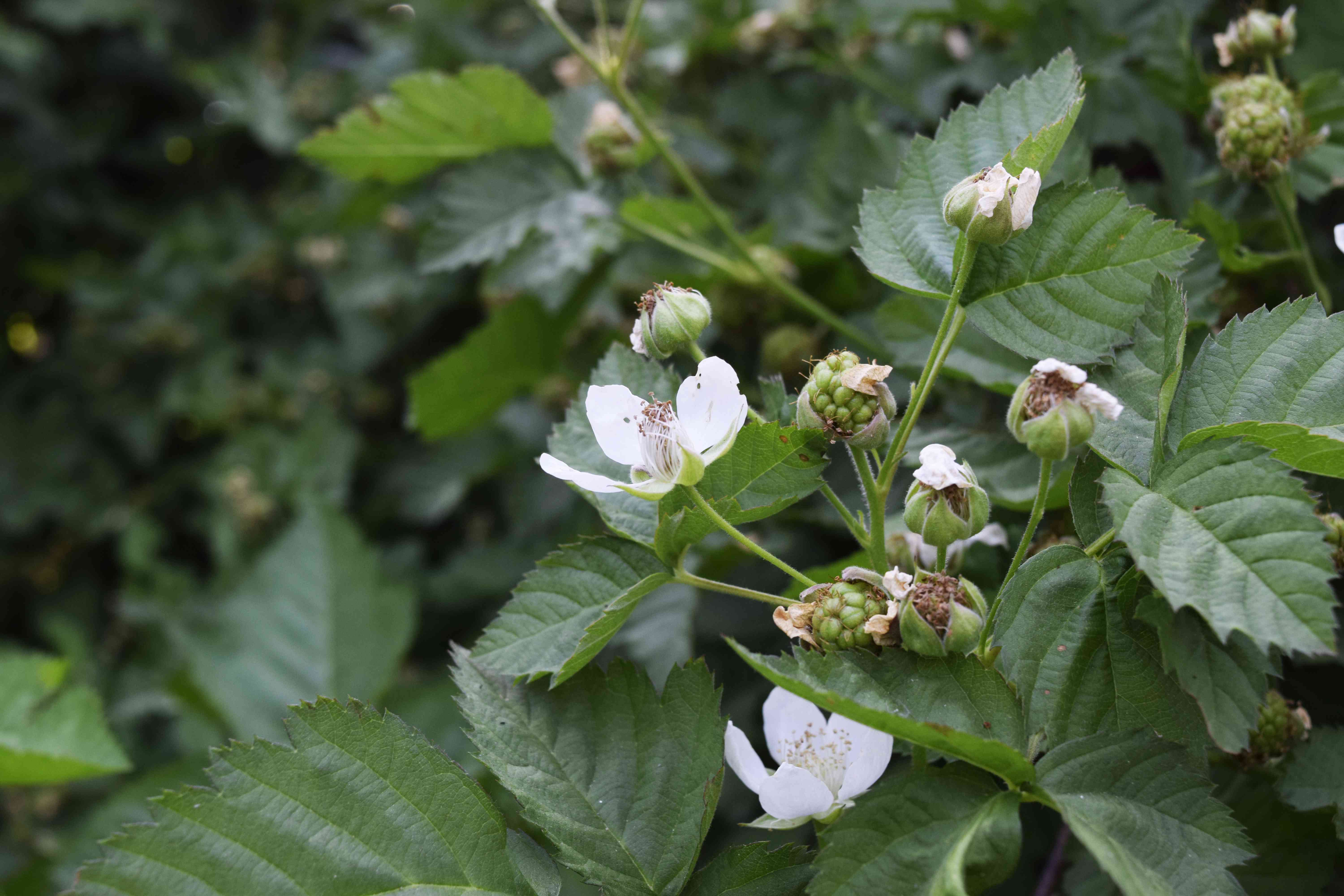 Blackberry plant with small white flowers, flower buds and light green fruit buds