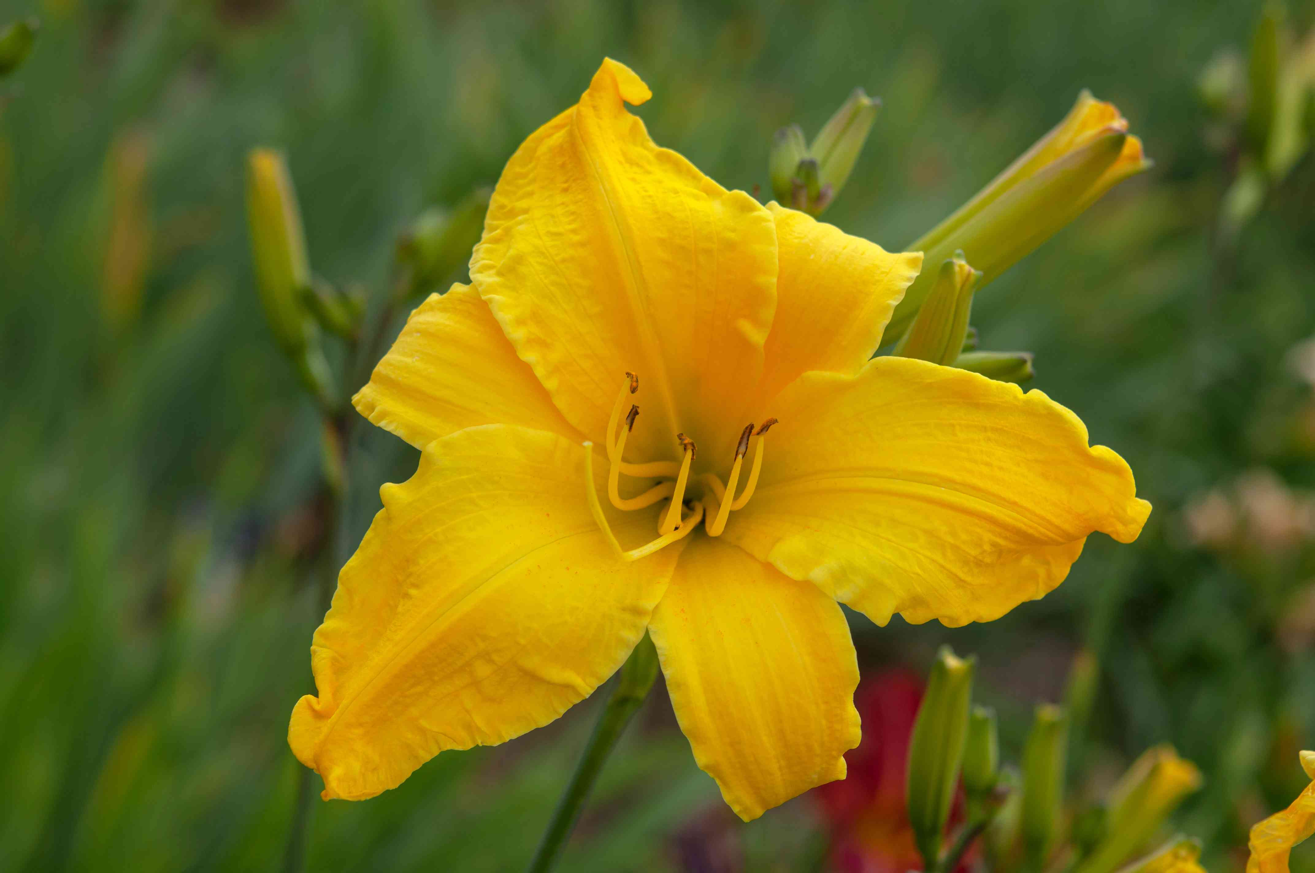 Flying saucer daylily with yellow petals and buds closeup