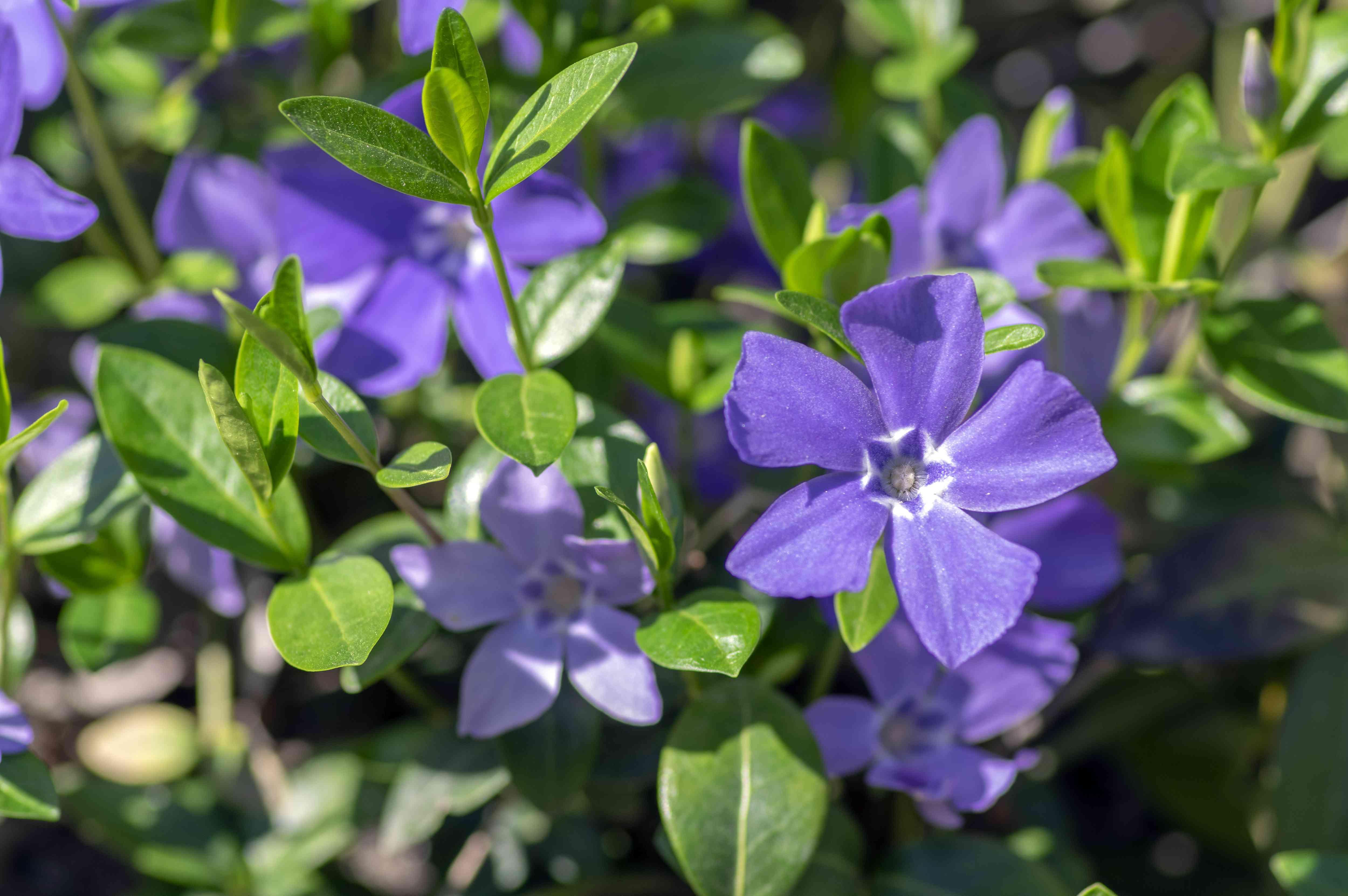 Flores ornamentales de vinca menor Vinca minor en flor, planta floreciente de bígaro común, flores trepadoras