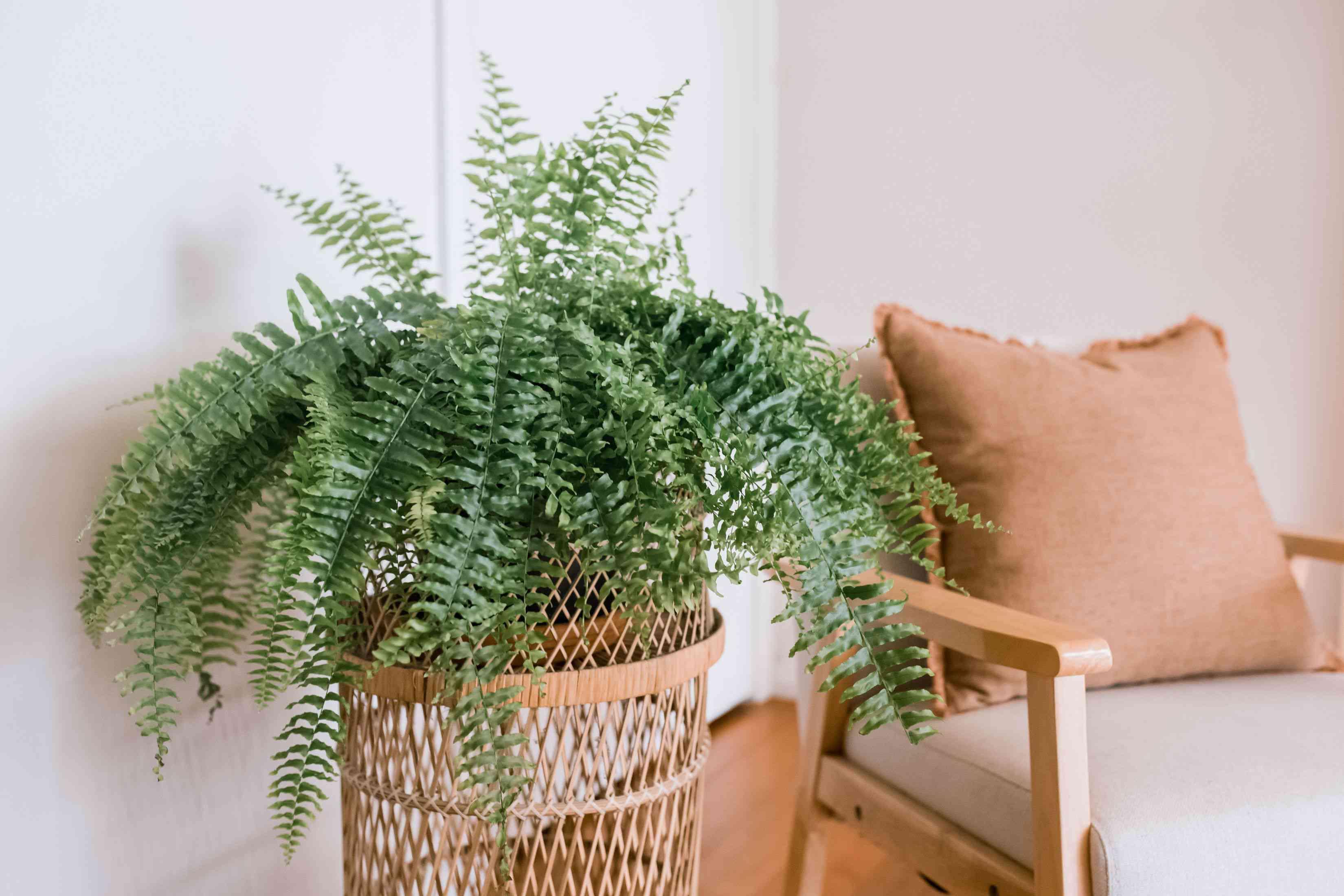 Boston fern plant in wicker holder next to chair