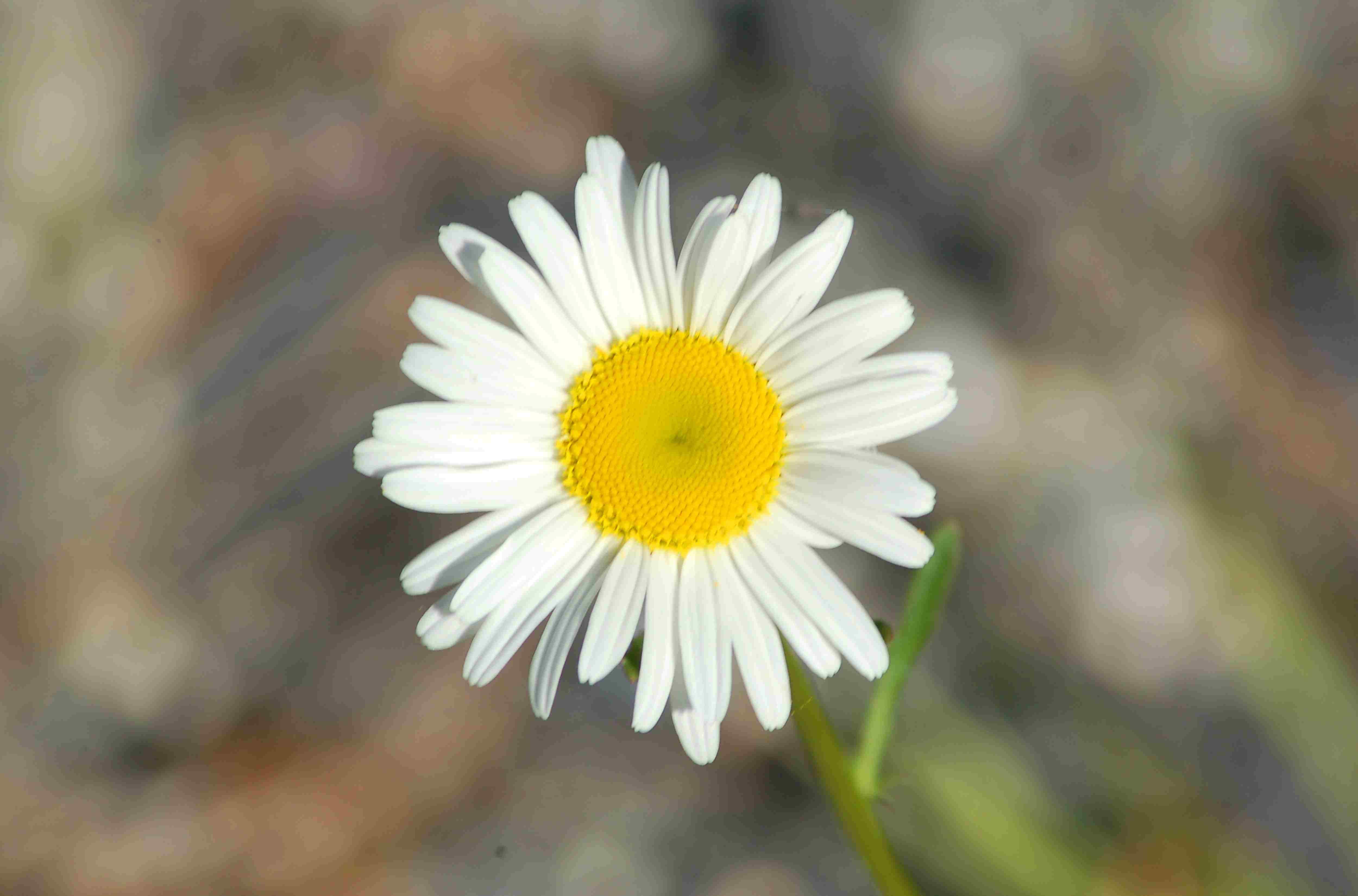 Becky shasta daisy flower closeup.