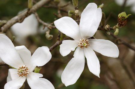 Kobus Magnolia Growing Profile