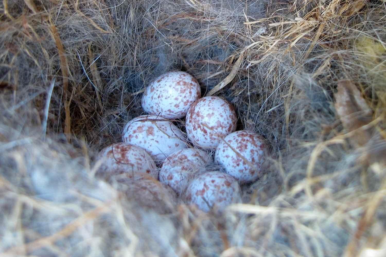 nido de chickadee de capa negra