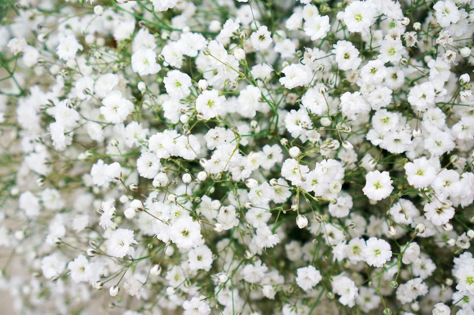 Filler flowers for wedding bouquets closeup of babys breath flowers mightylinksfo