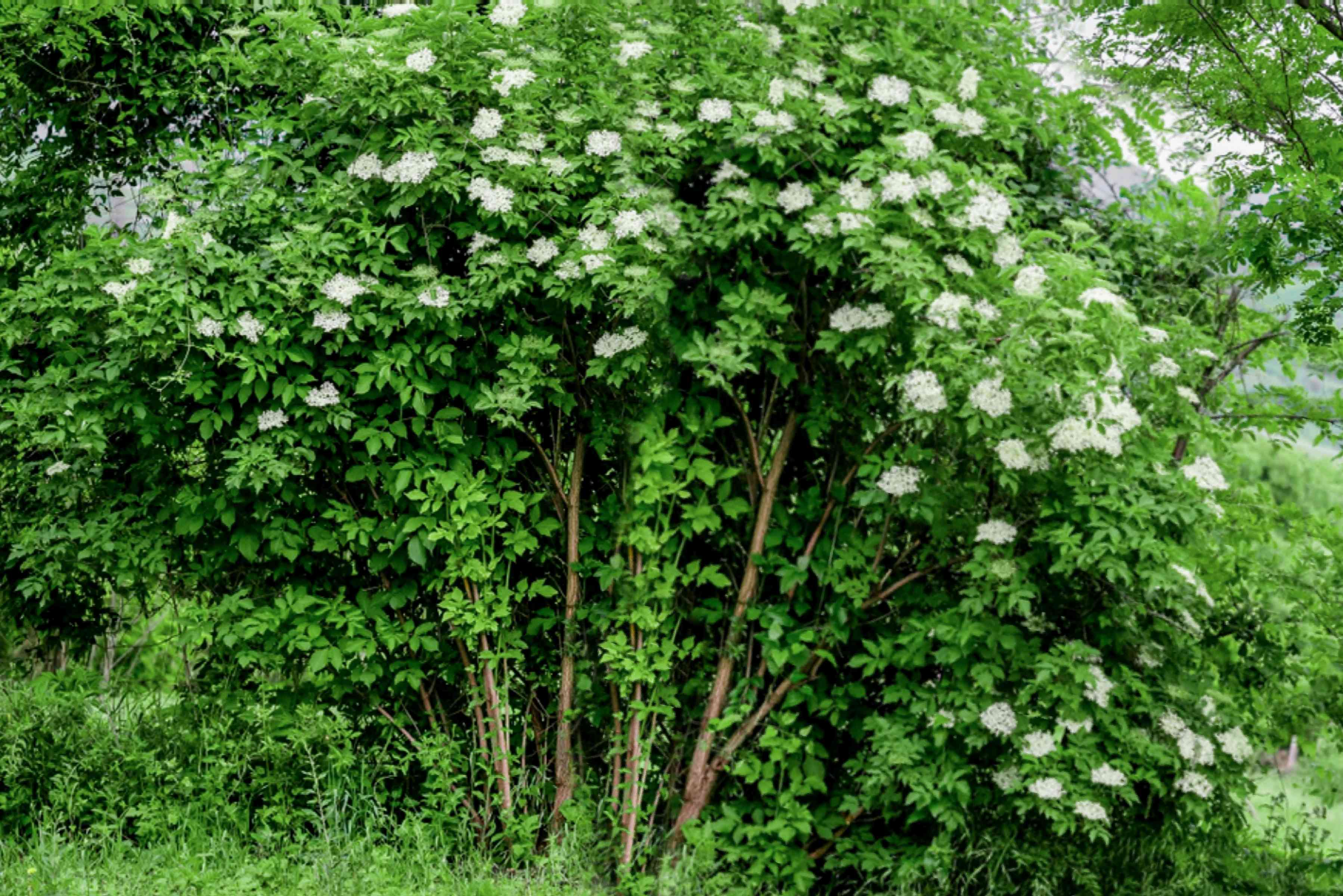 Common elderberry shrub with tall branches with bright white flowers and leaves hanging over the top
