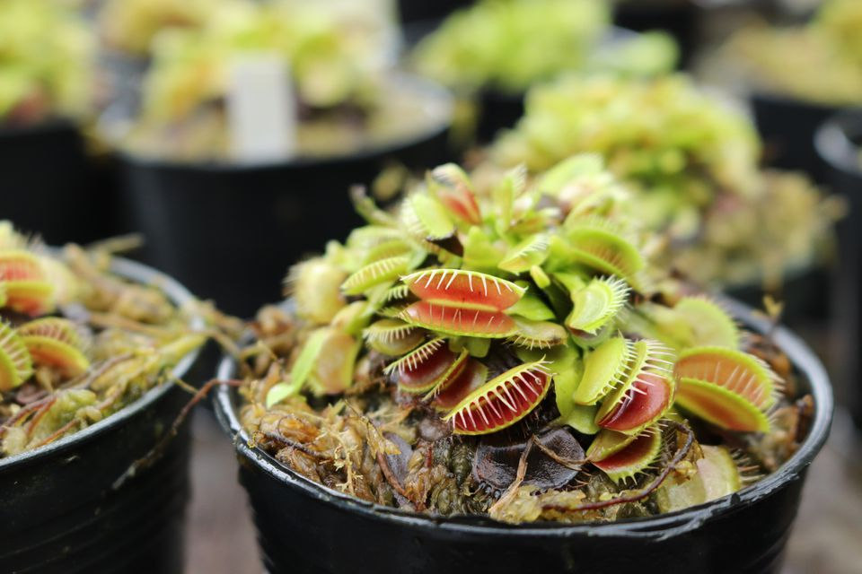A close up shot of a Venus Fly Trap in a black pot.