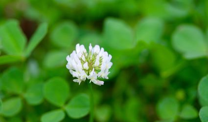 White clover in bloom.