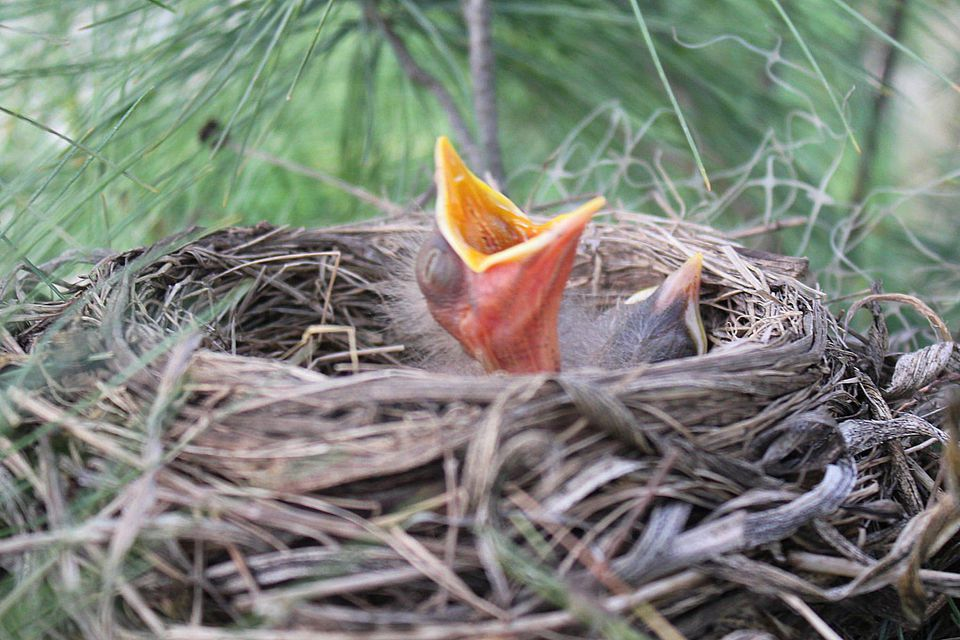 American Robin Nest and Brood