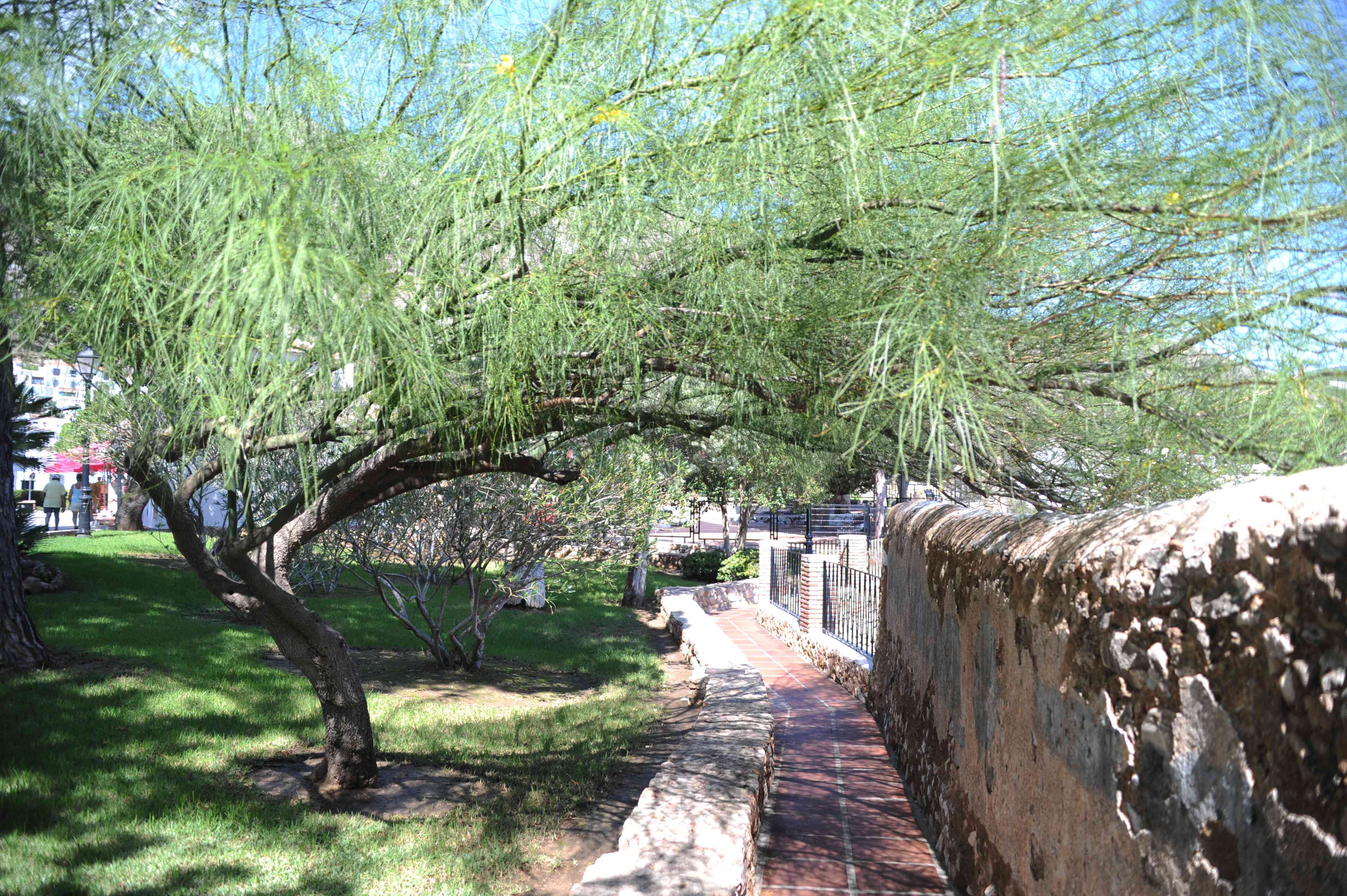 Palo verde tree with extending branches over pathway and long thin leaves