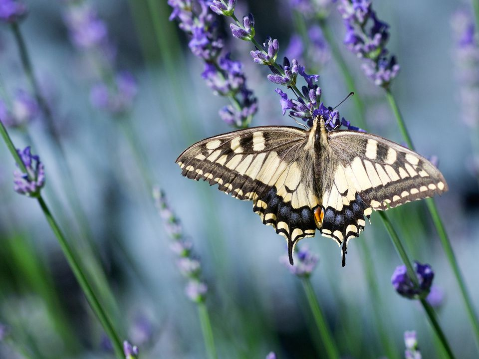 Butterfly on lavender plant